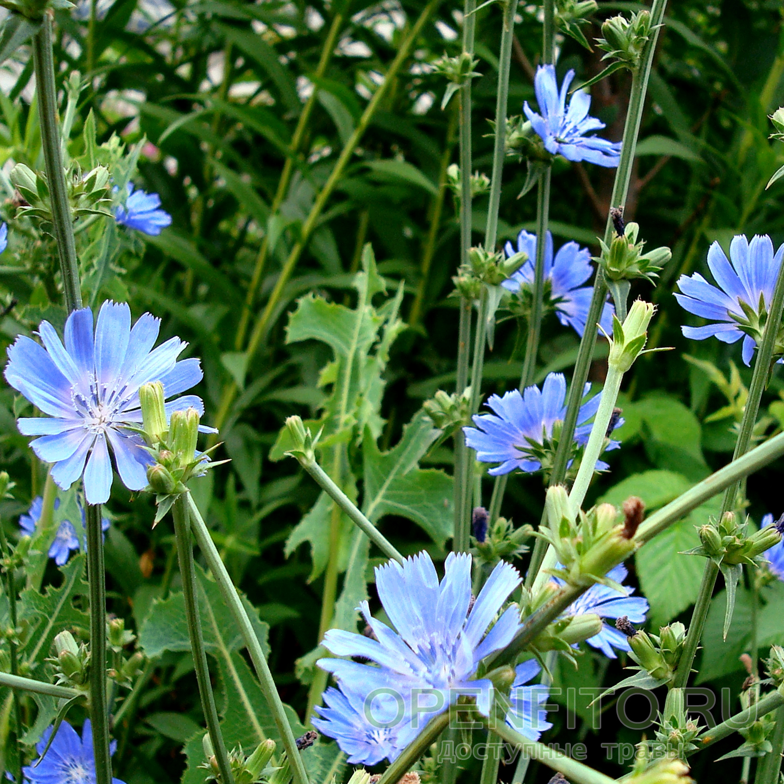 Цикорий (растение)