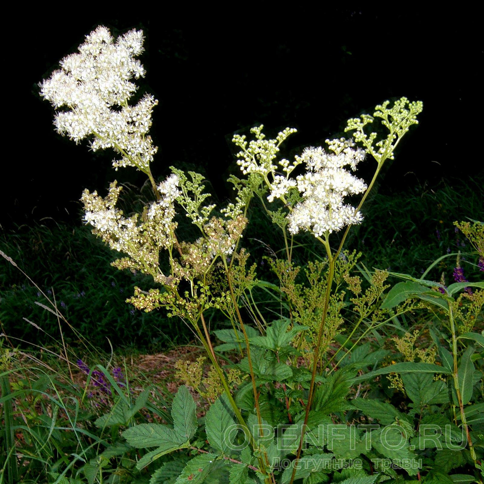 Цветки с язычком