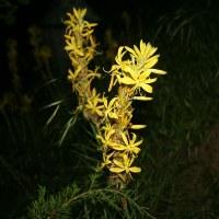 Асфоделина жёлтая
