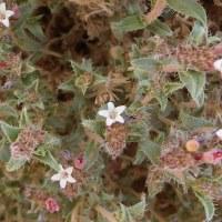 Мольткиопсис реснитчатый