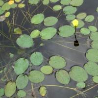Гидроклейс кувшинковидный