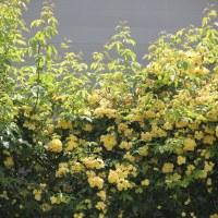 Роза Бенкса