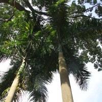 Пальма кубинская