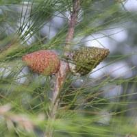 Сосна калабрийская