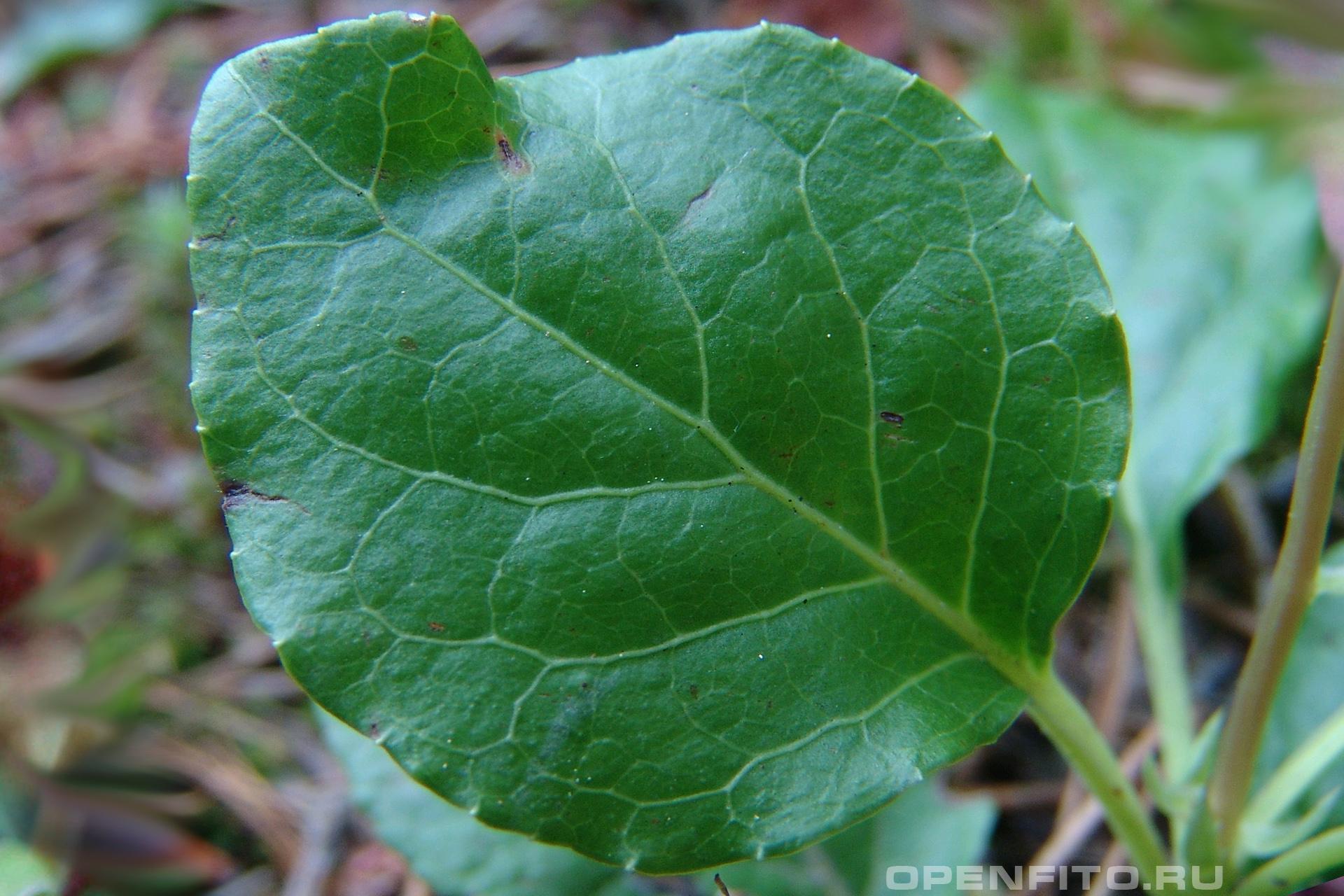 Ортилия однобокая или бокоцветка однобокая