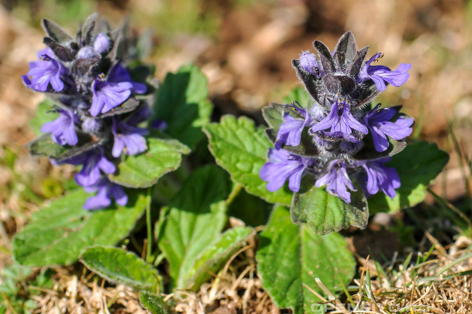 Живучка женевская лекарственное растение