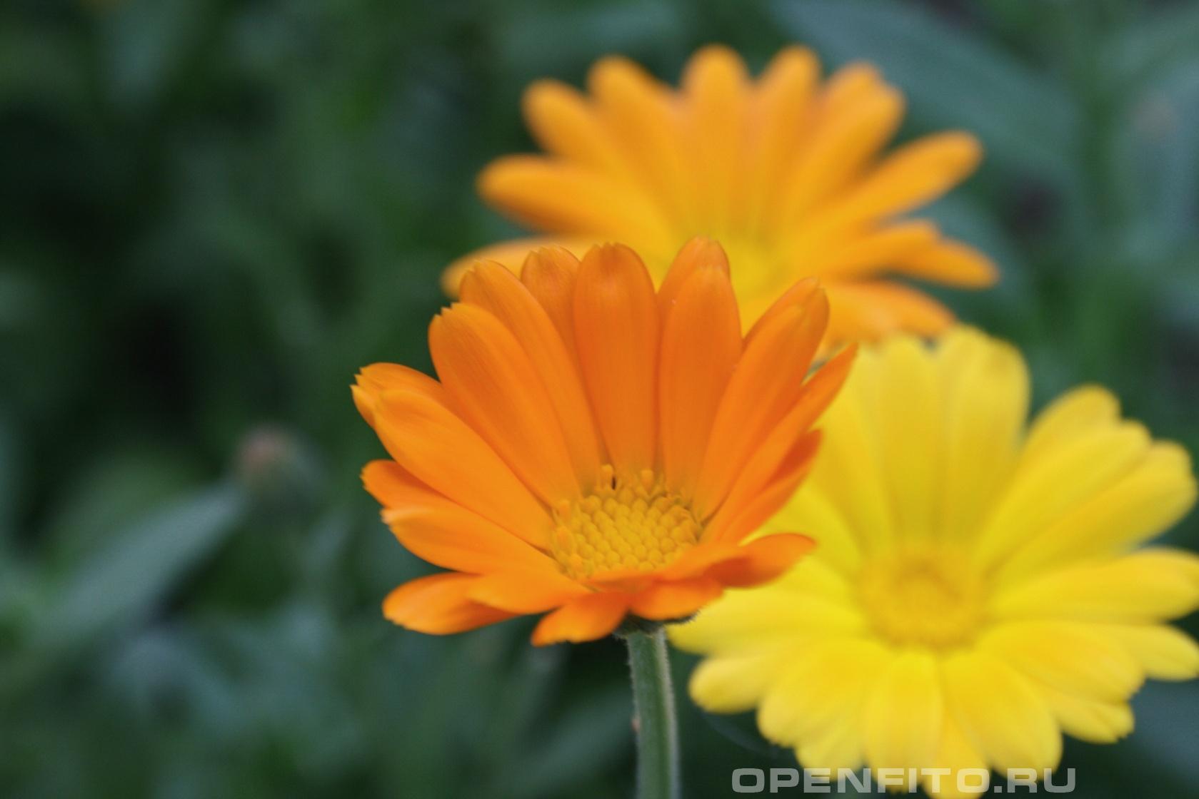 Календула <p>цветок характерен для всех видов календулы</p>