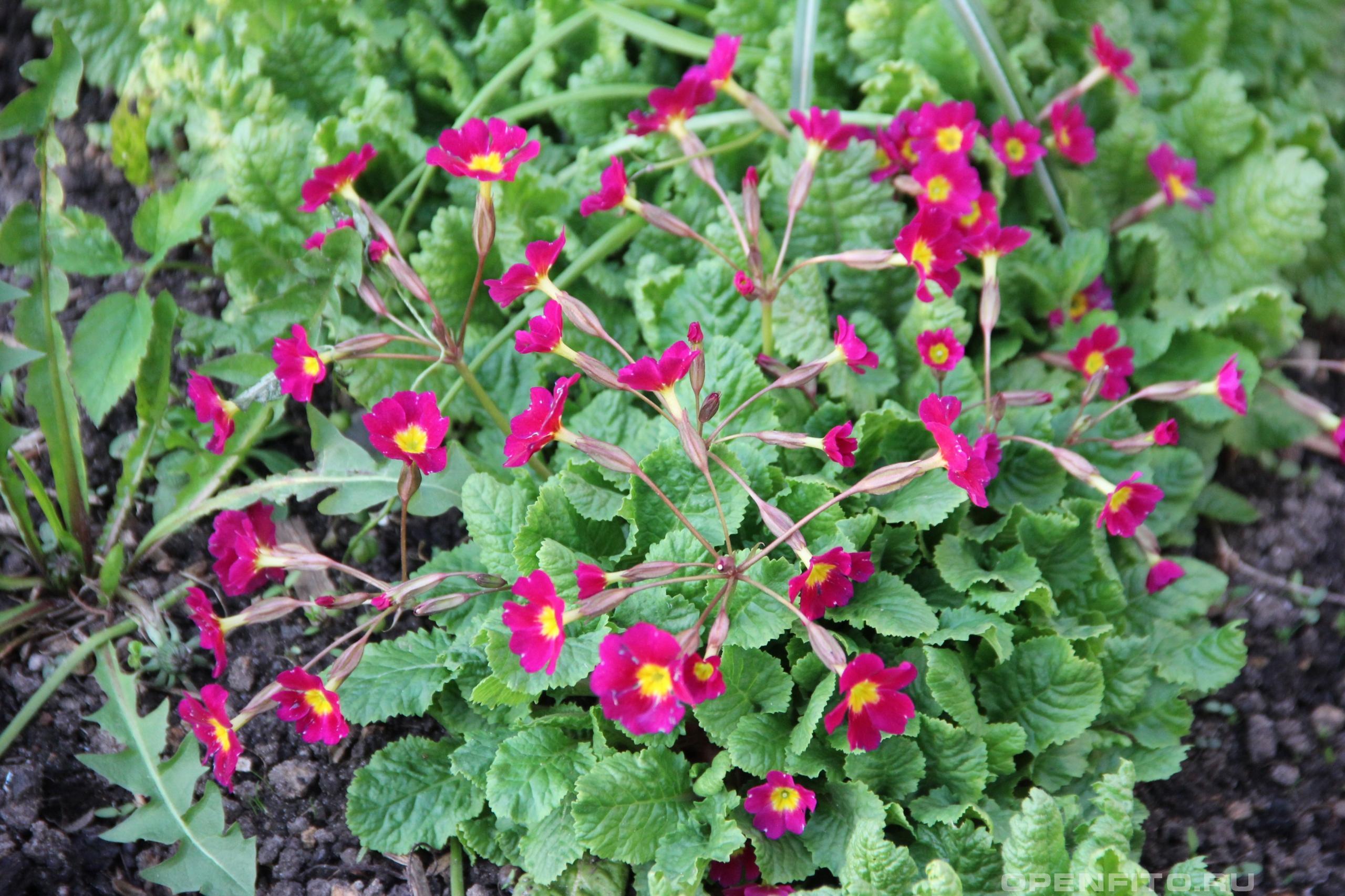 Первоцвет лекарственное растение