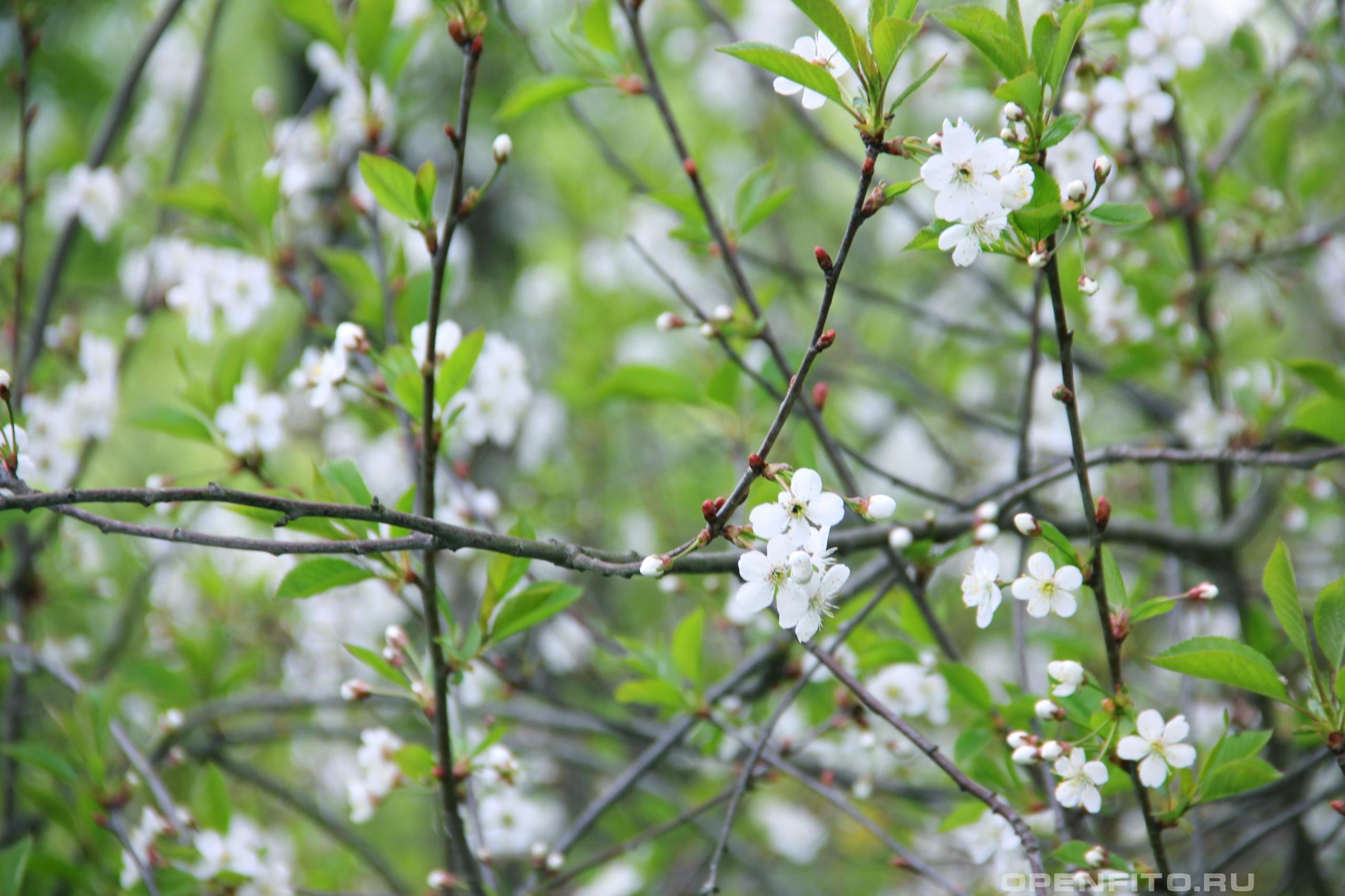 Вишня весенние цветки вишни