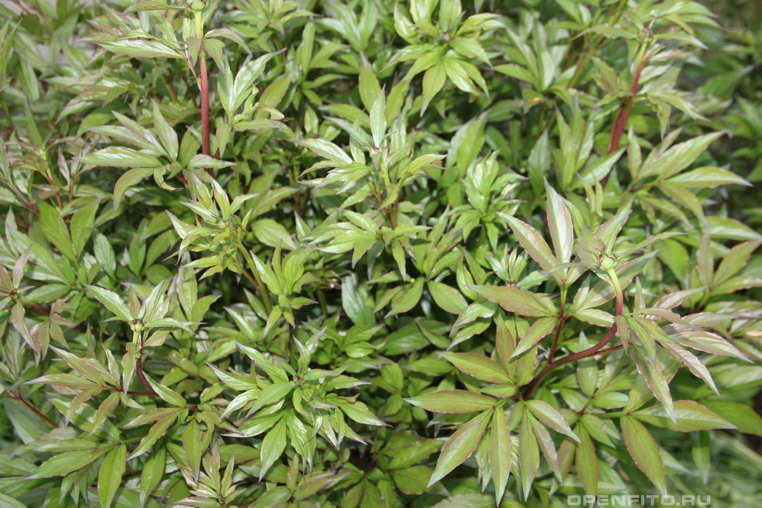 Пион белоцветковый молодое садовое растение