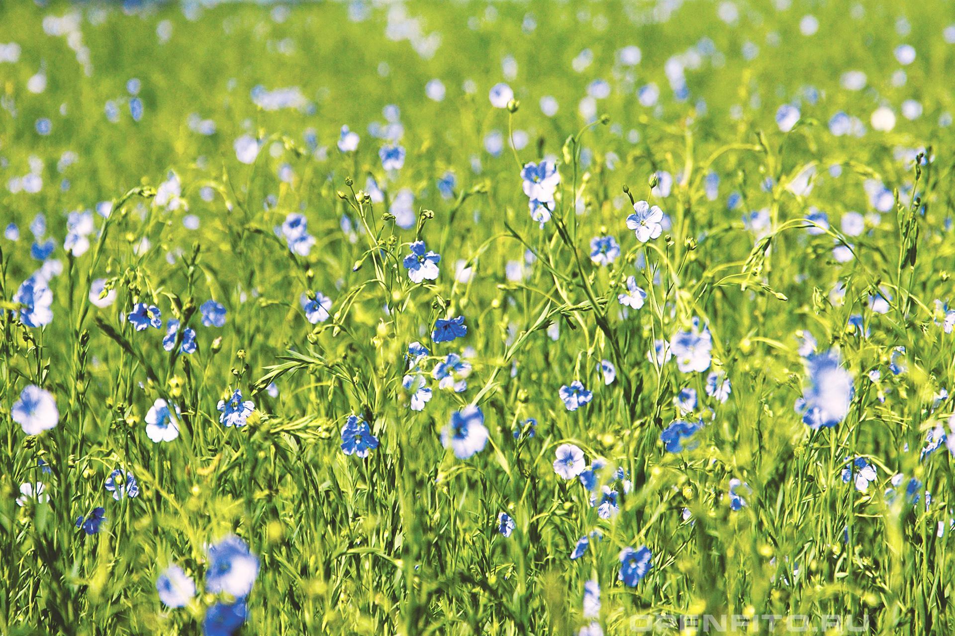 Лен поле льна посевного