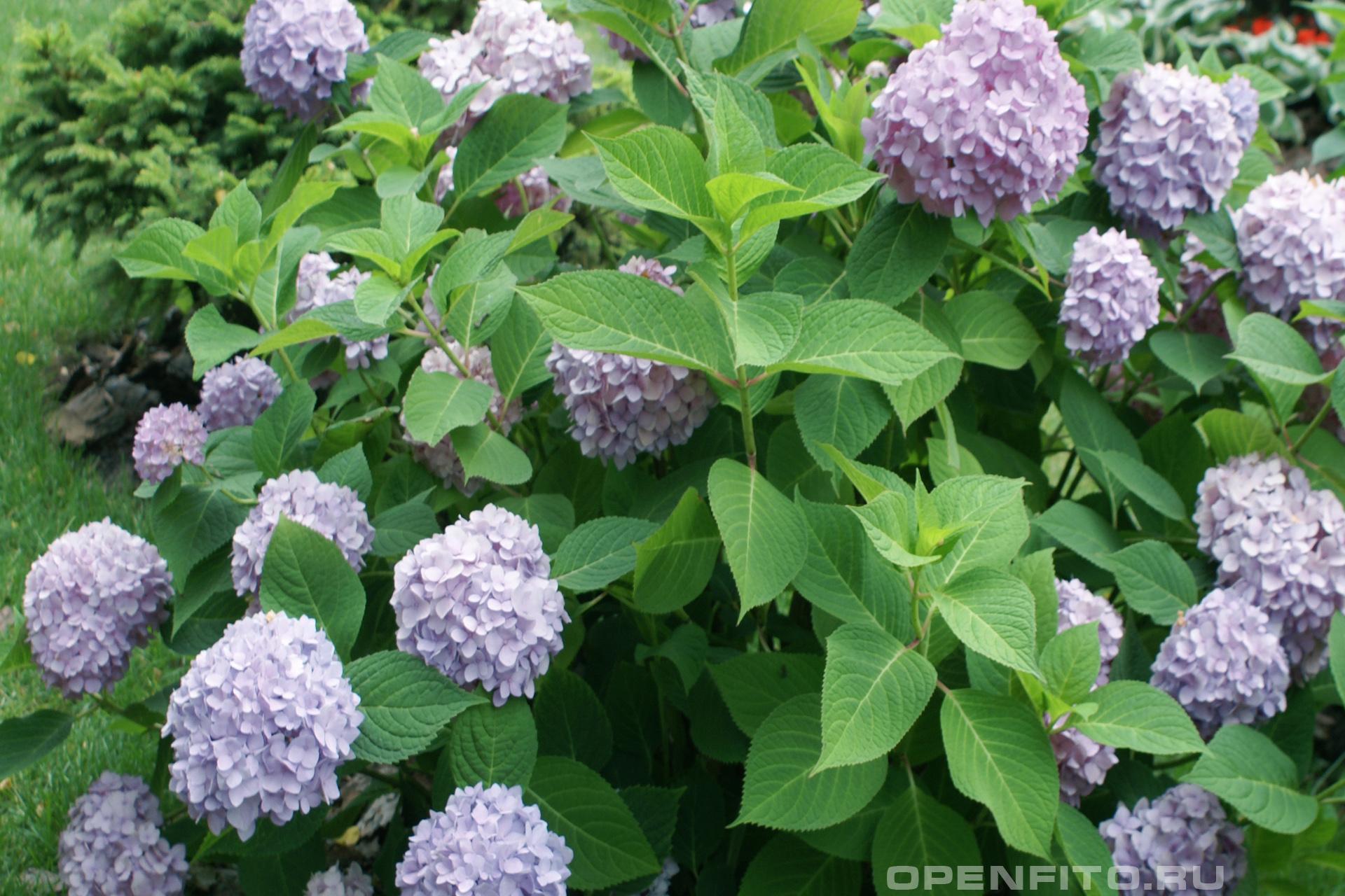 Гортензия крупнолистная садовый кустарник