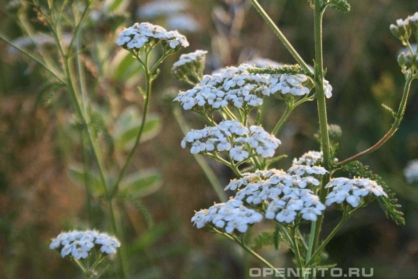 Тысячелистник <p>Фотография растения Тысячелистник</p>