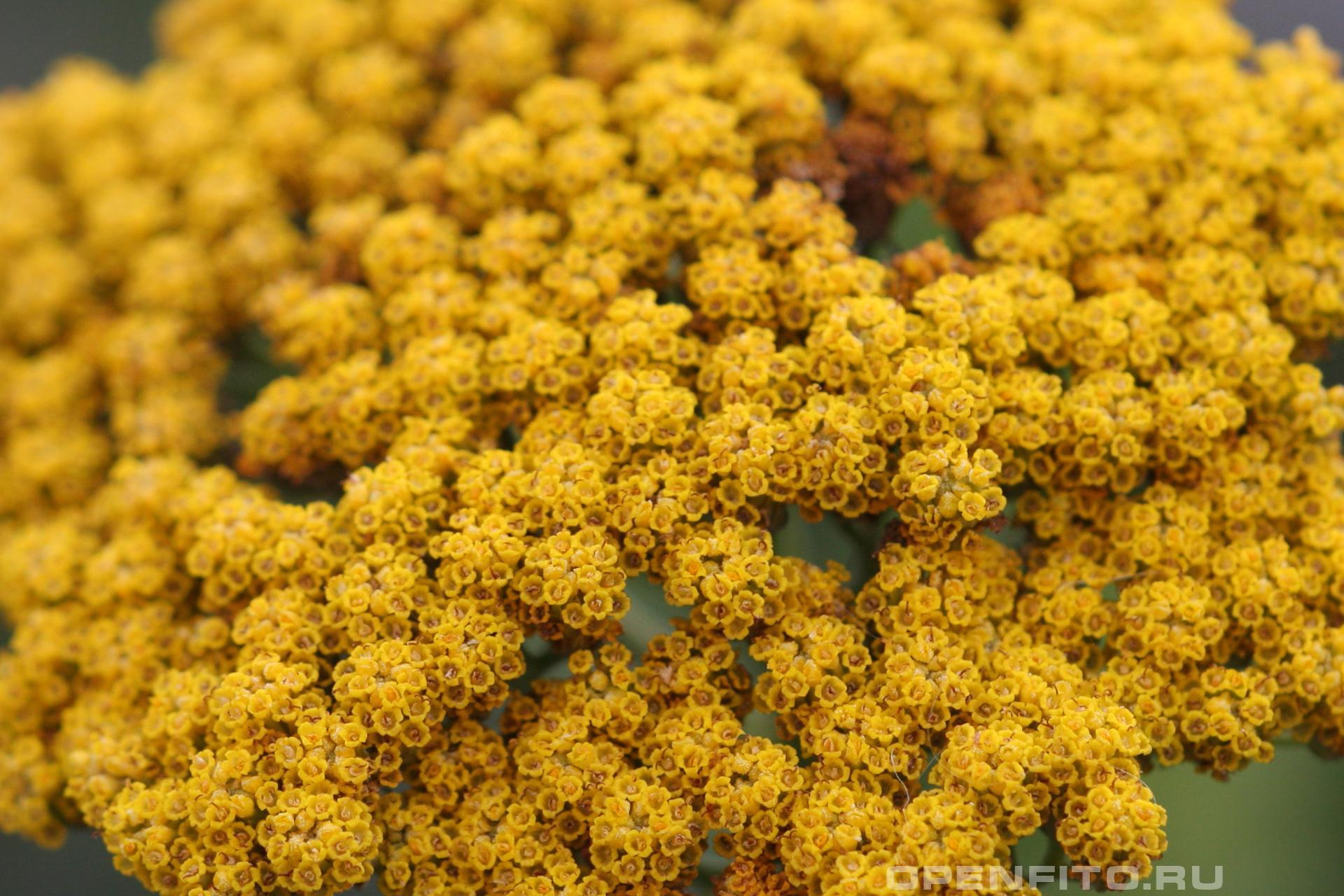 Тысячелистник арабский цветки тысячелистника крупным планом