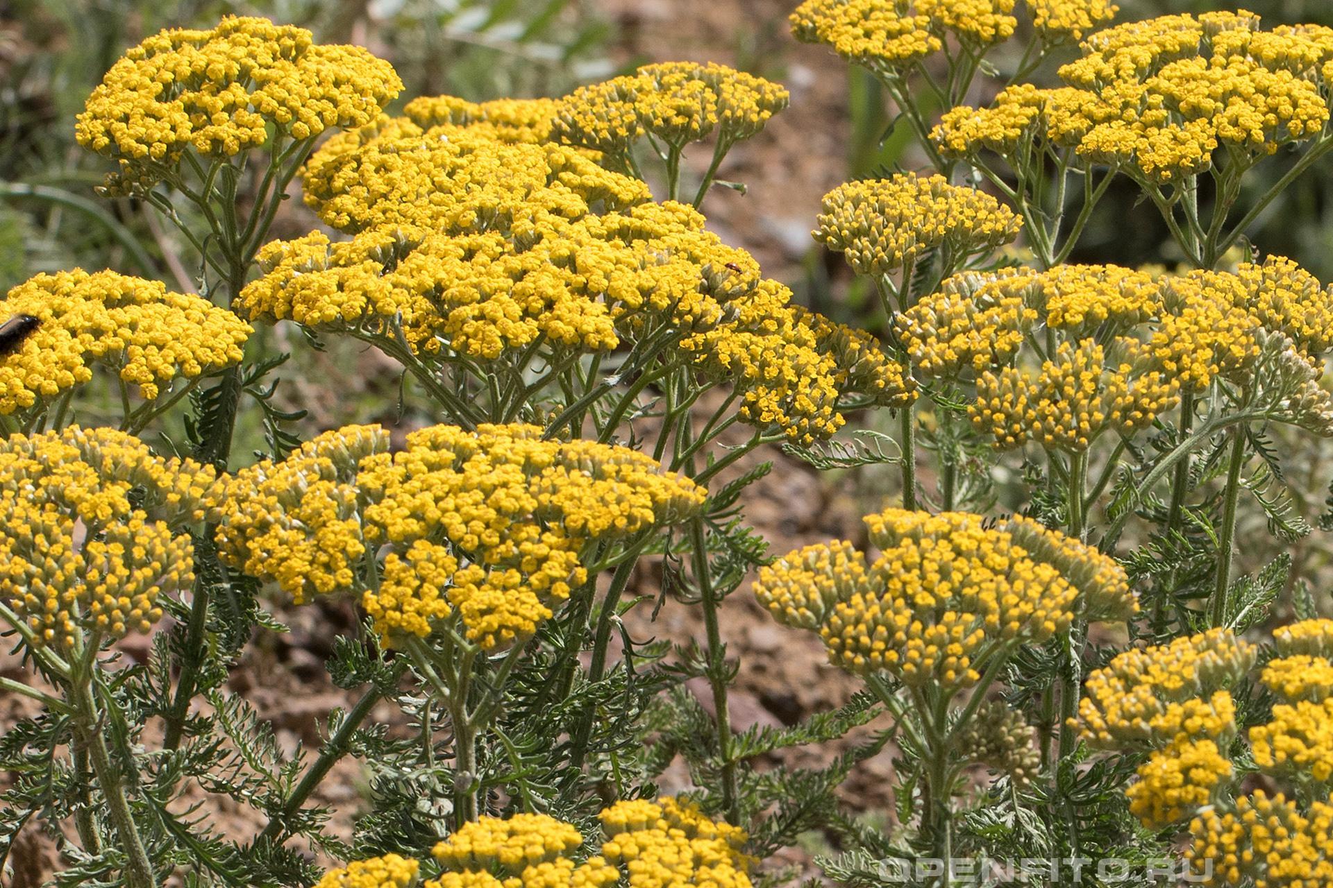 Тысячелистник арабский соцветия и листья