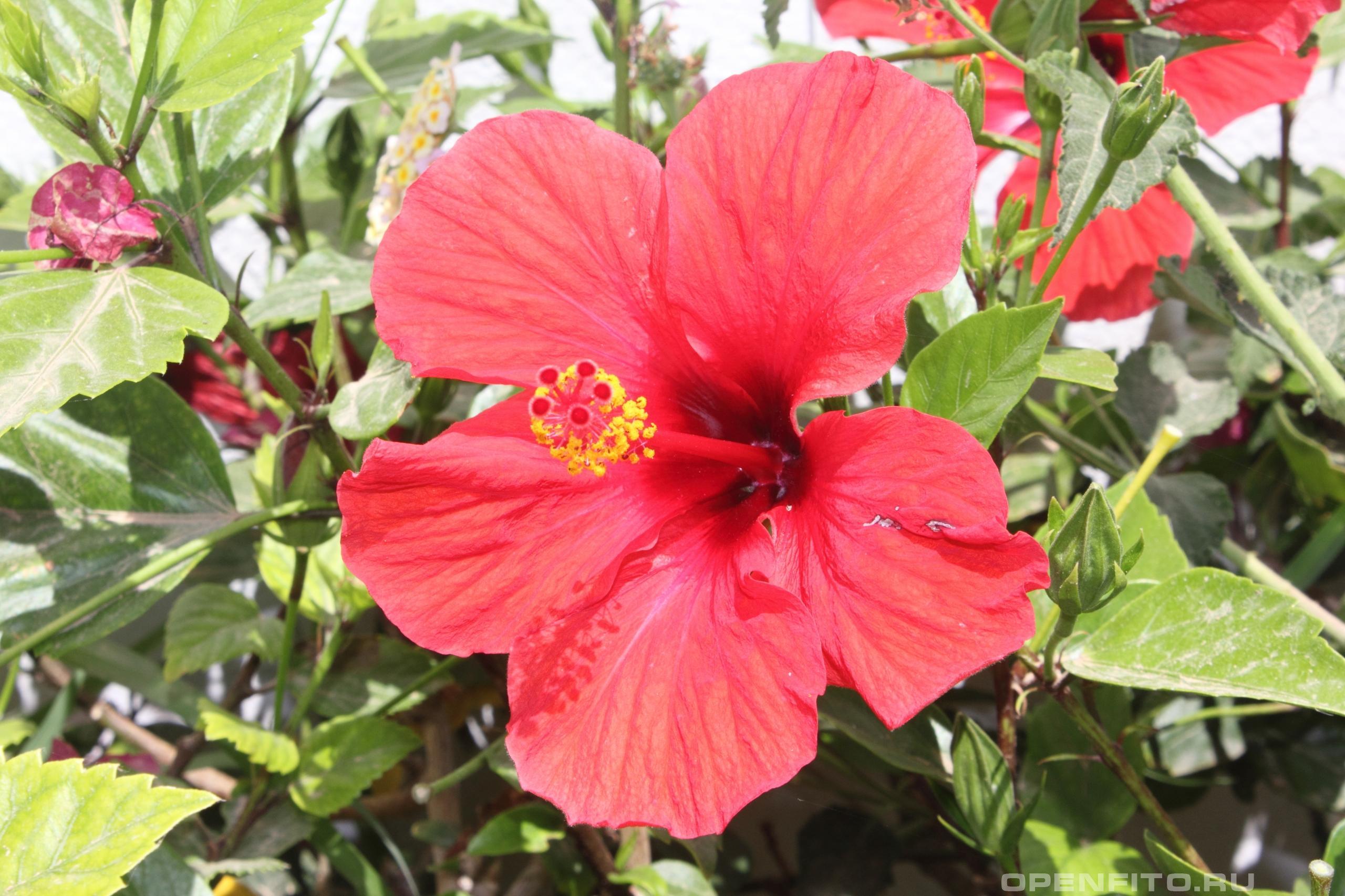 Гибискус очень красивый цветок, произрастает на всех континентах
