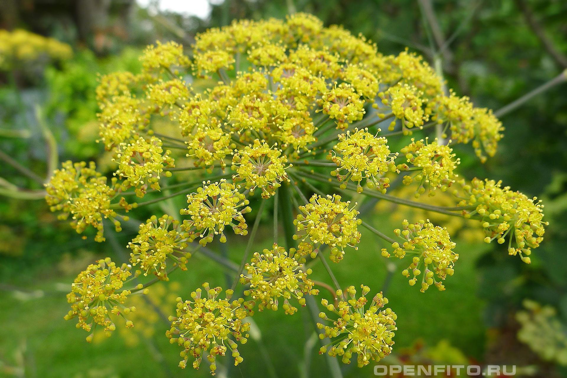 Фенхель обыкновенный <p>цветки растения похожи на укроп</p>