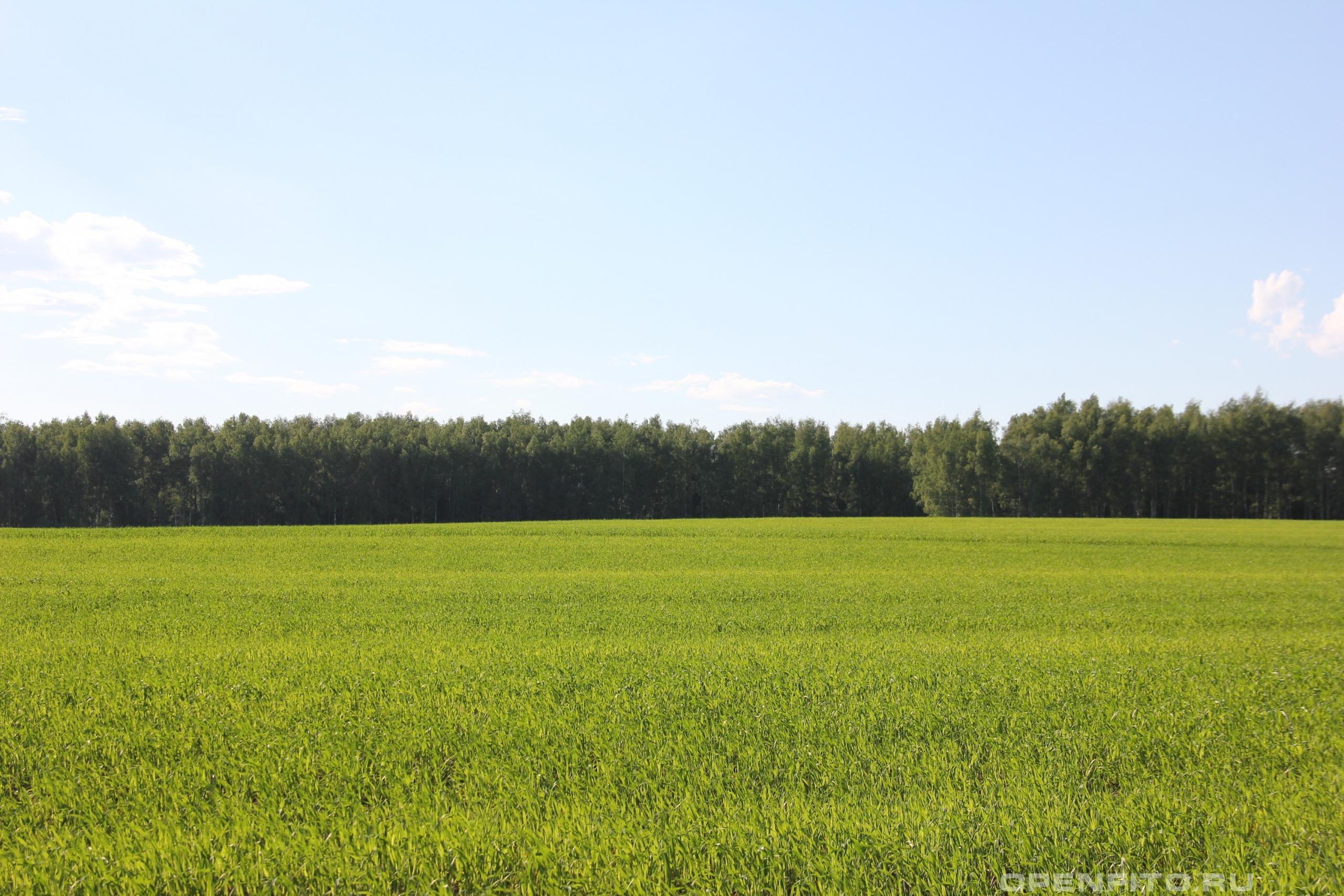 Овес поле засеянное овсом, май
