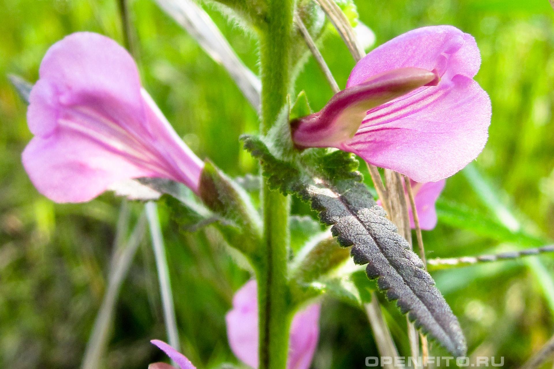 Мытник перевёрнутый ядовитое и лекарственное растение