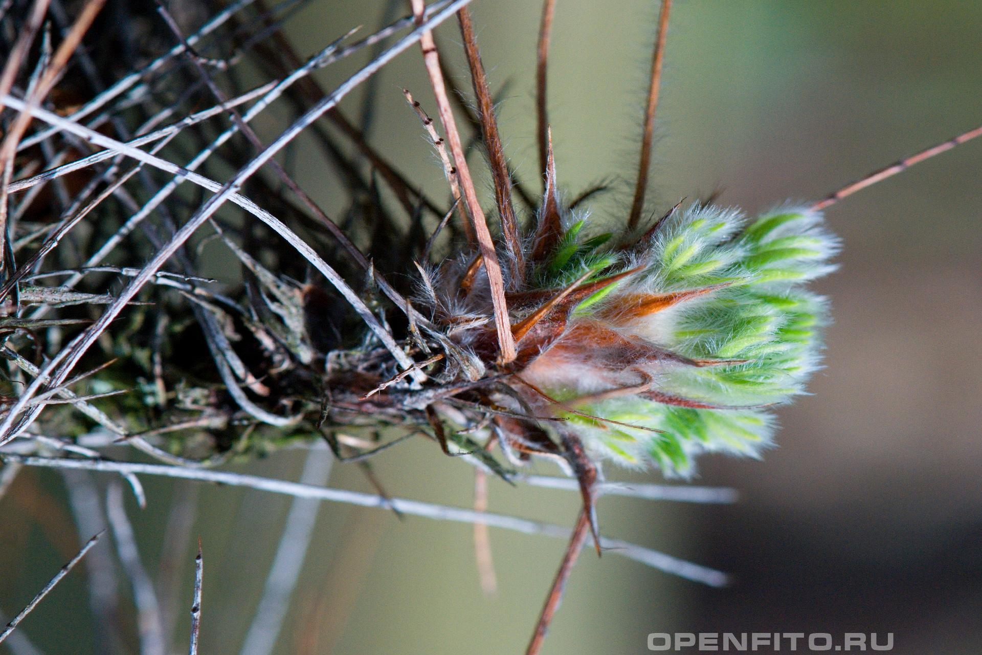 Карагана гривастая молодой побег и длинные колючки растения