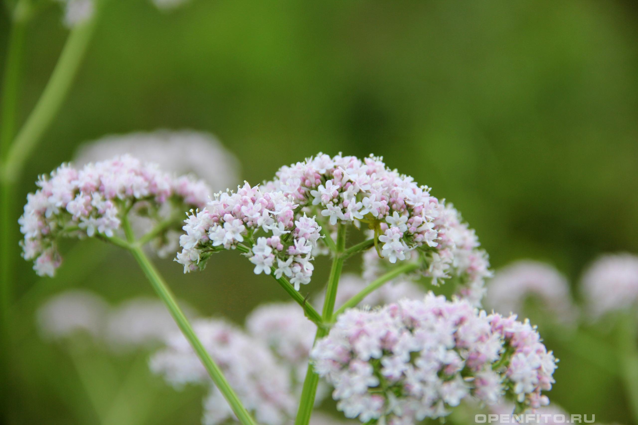 Валериана лекарственная <p>успокаивающая трава</p>