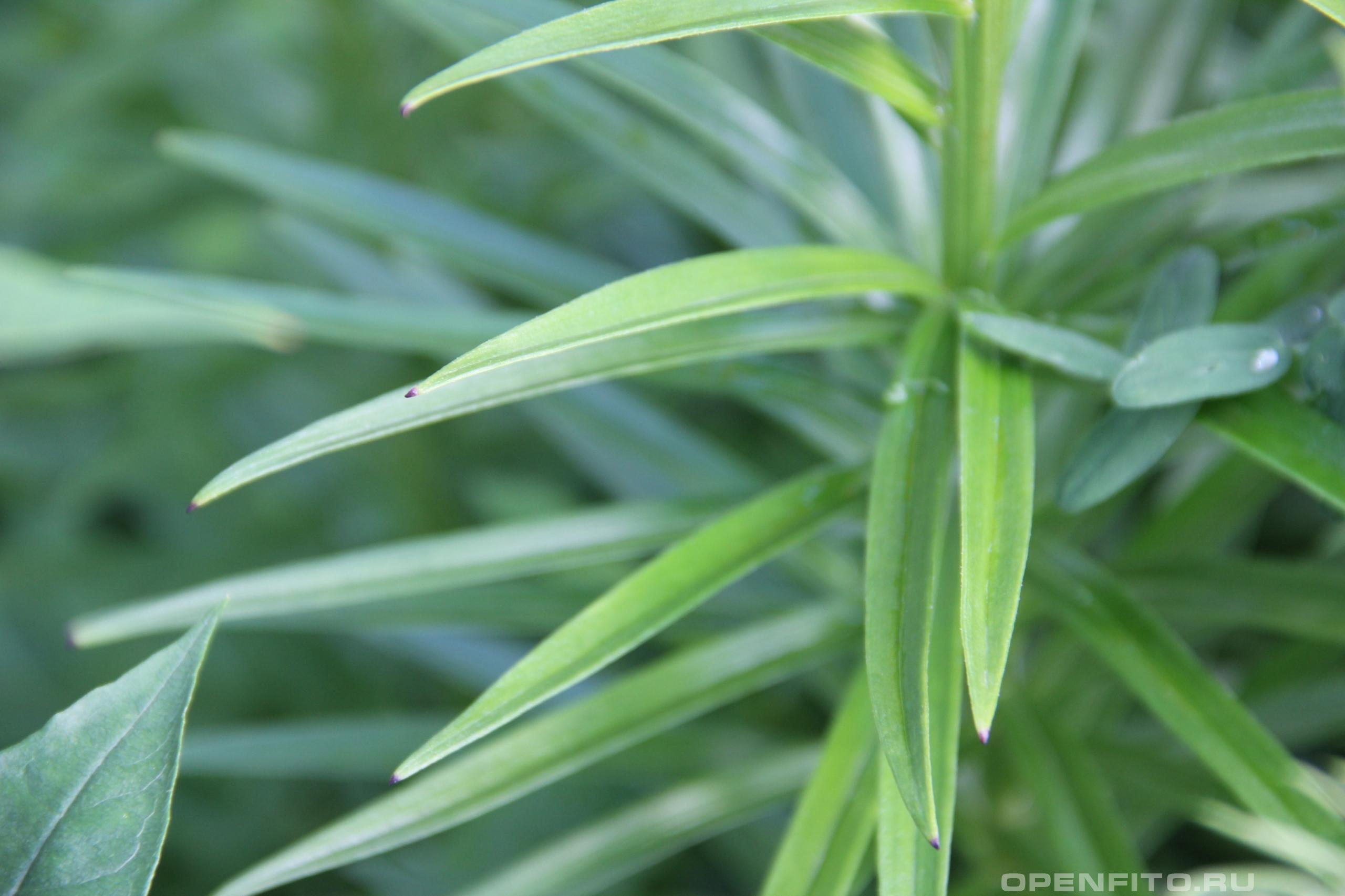 Лилия пенсильванская часто встречается в садах средней полосы