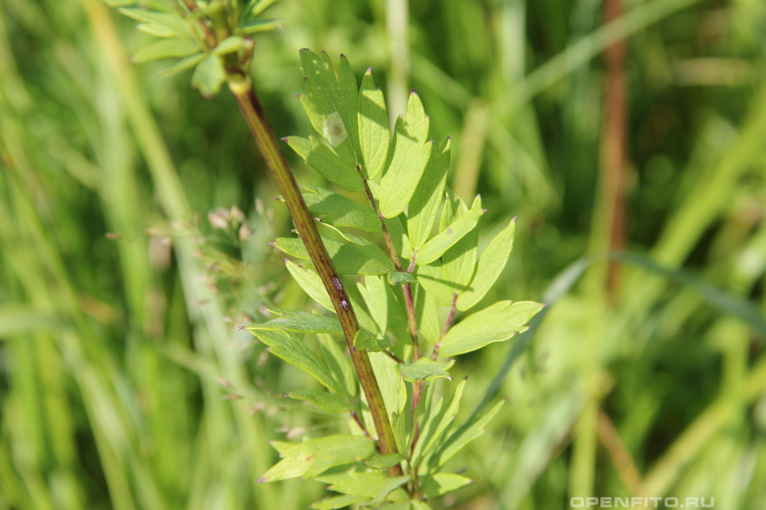Василистник желтый <p>лист и стебель травы</p>