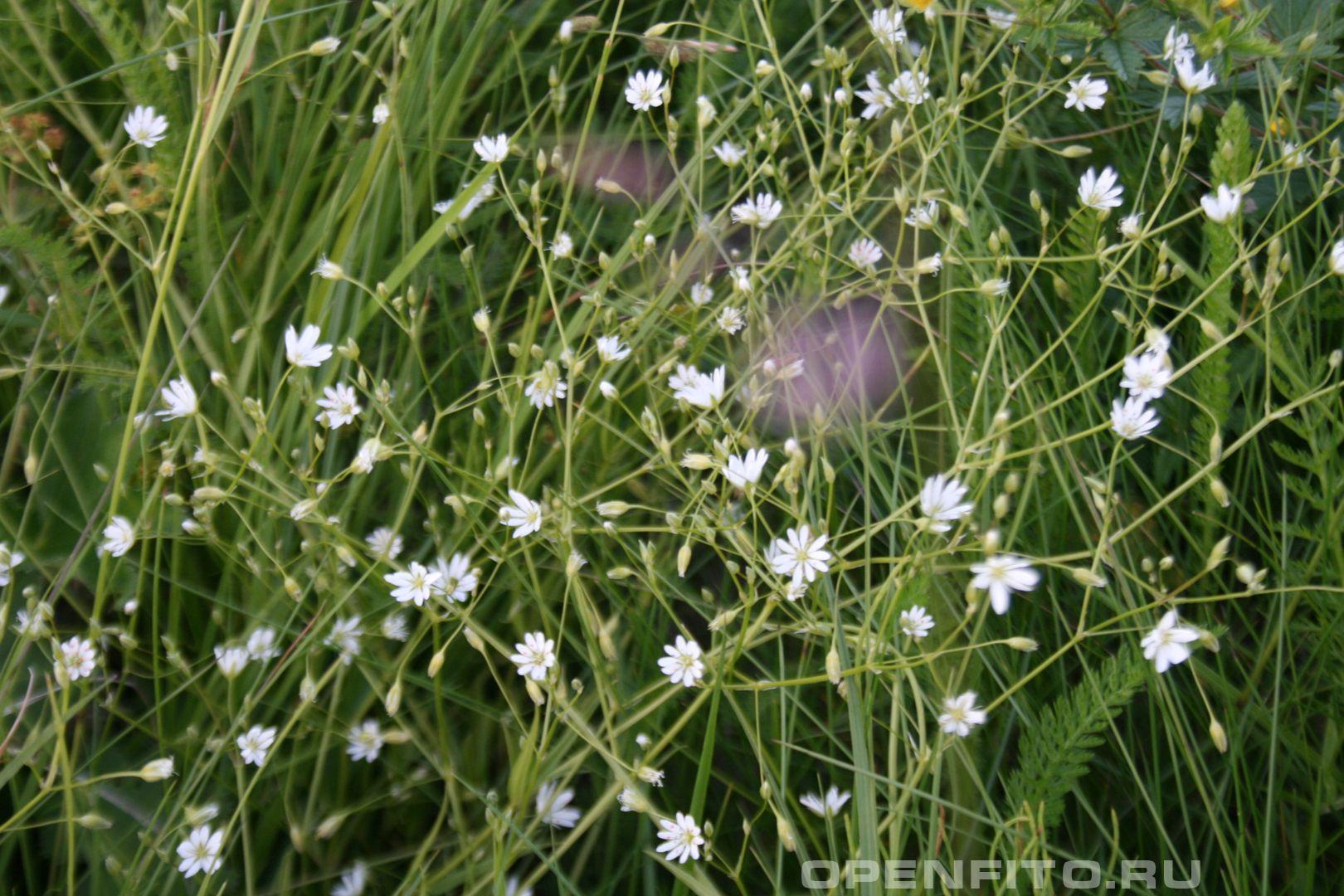 Звезчатка Лекарственная трава