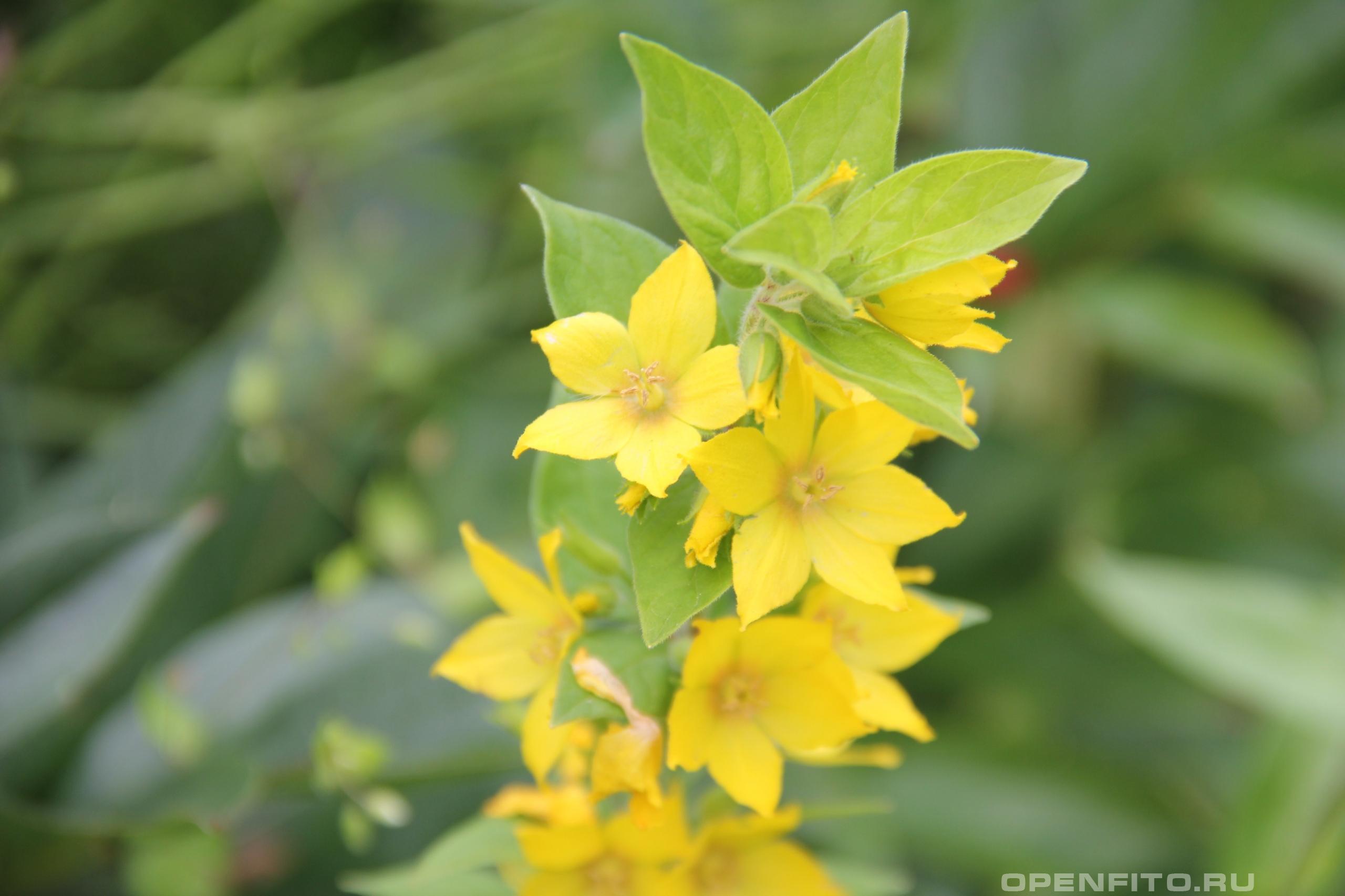 Вербейник мутовчатый красивое растение которое иногда высаживают в садах и огородах как цветок