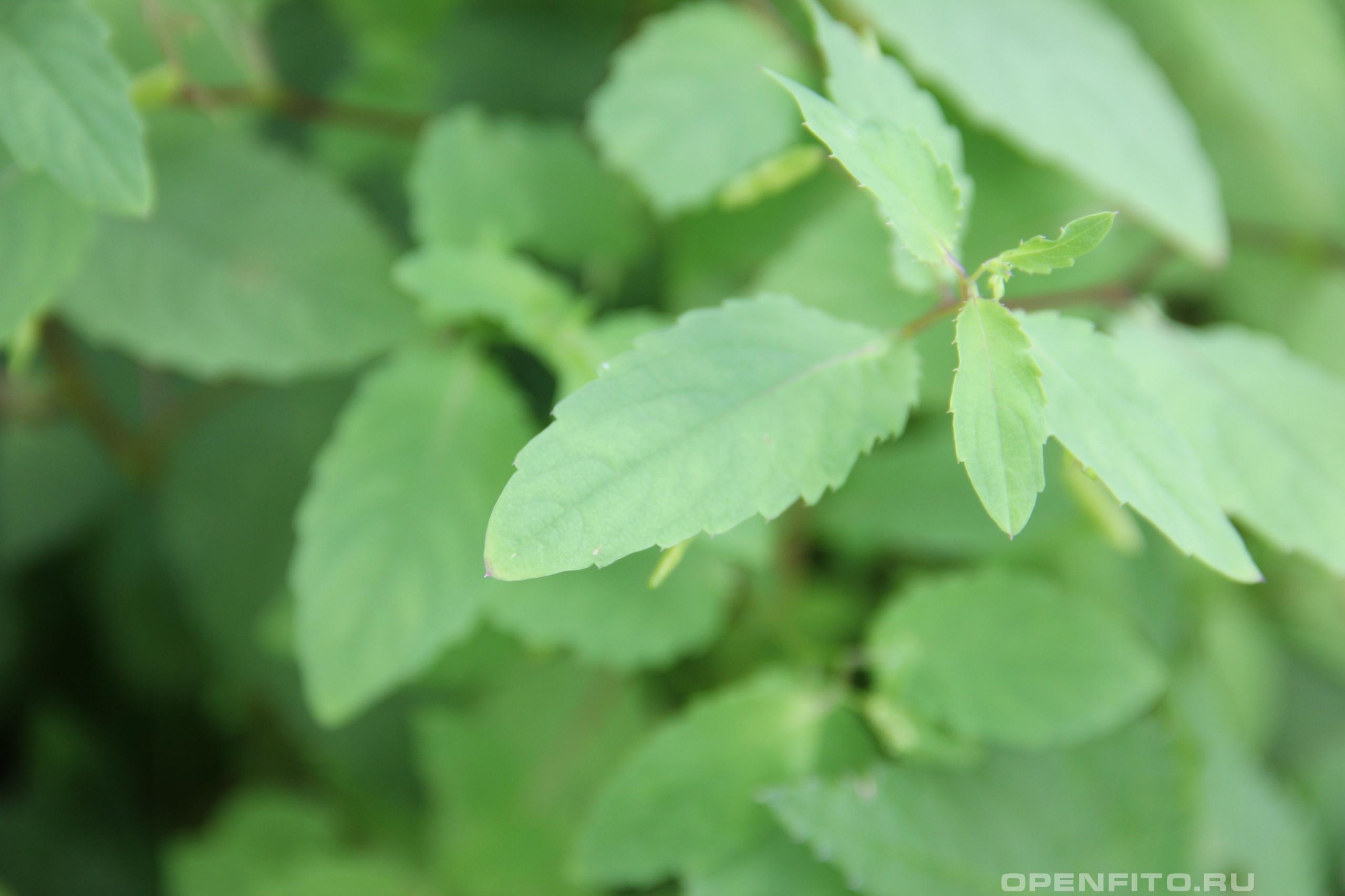 Недотрога обыкновенная <p>лекарственное растение</p>