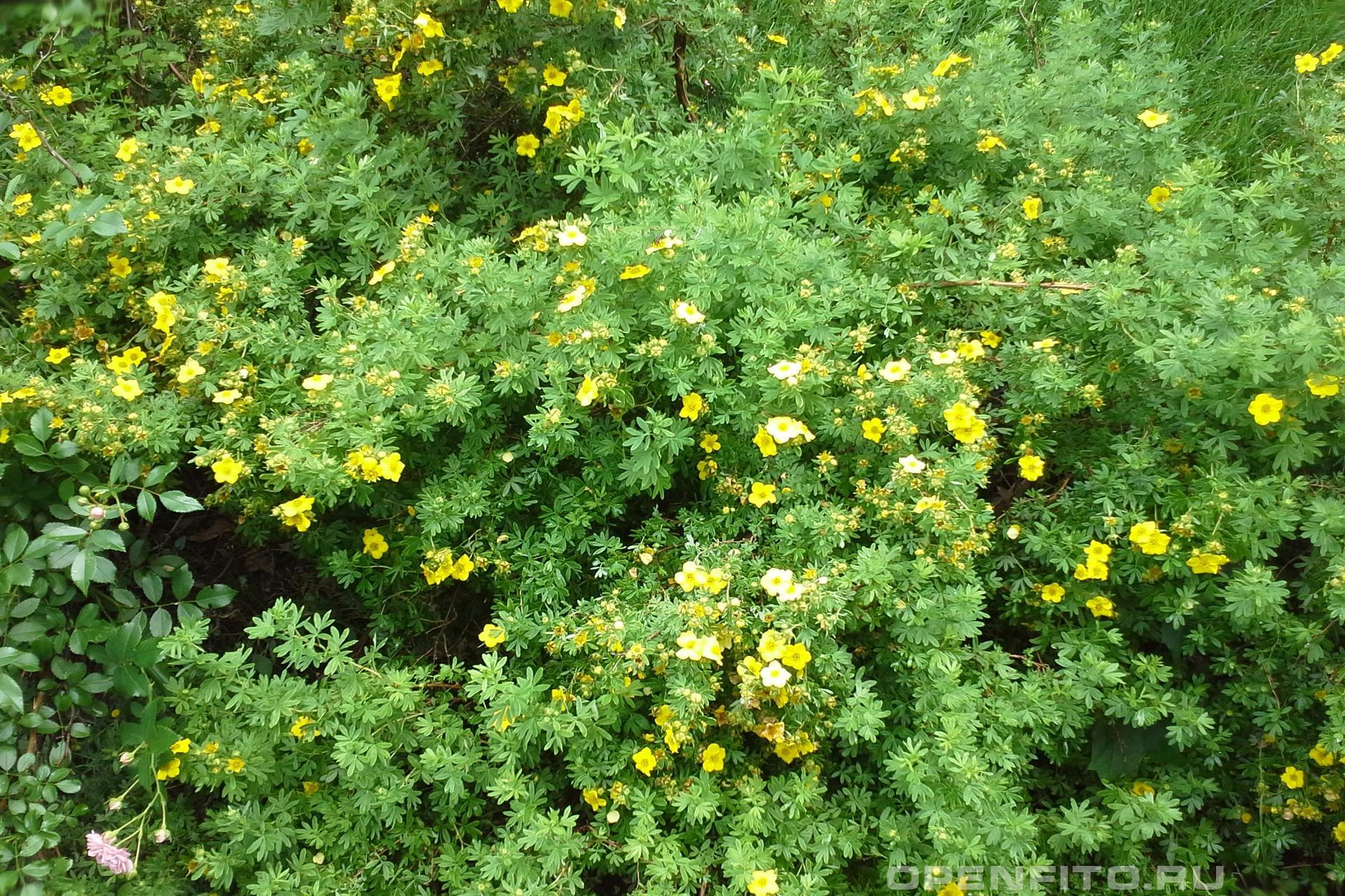 Курильский чай необычайно полезное растение и при этом вкусное - лапчатка кустарниковая