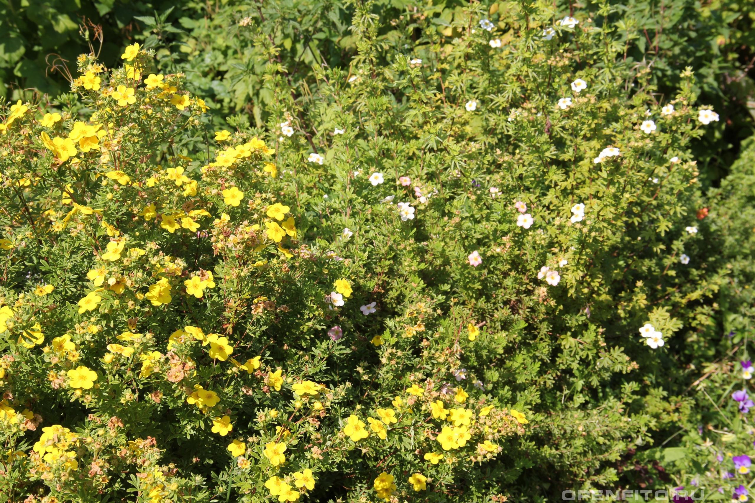Лапчатка кустарниковая Курильский чай розового и желтого цвета