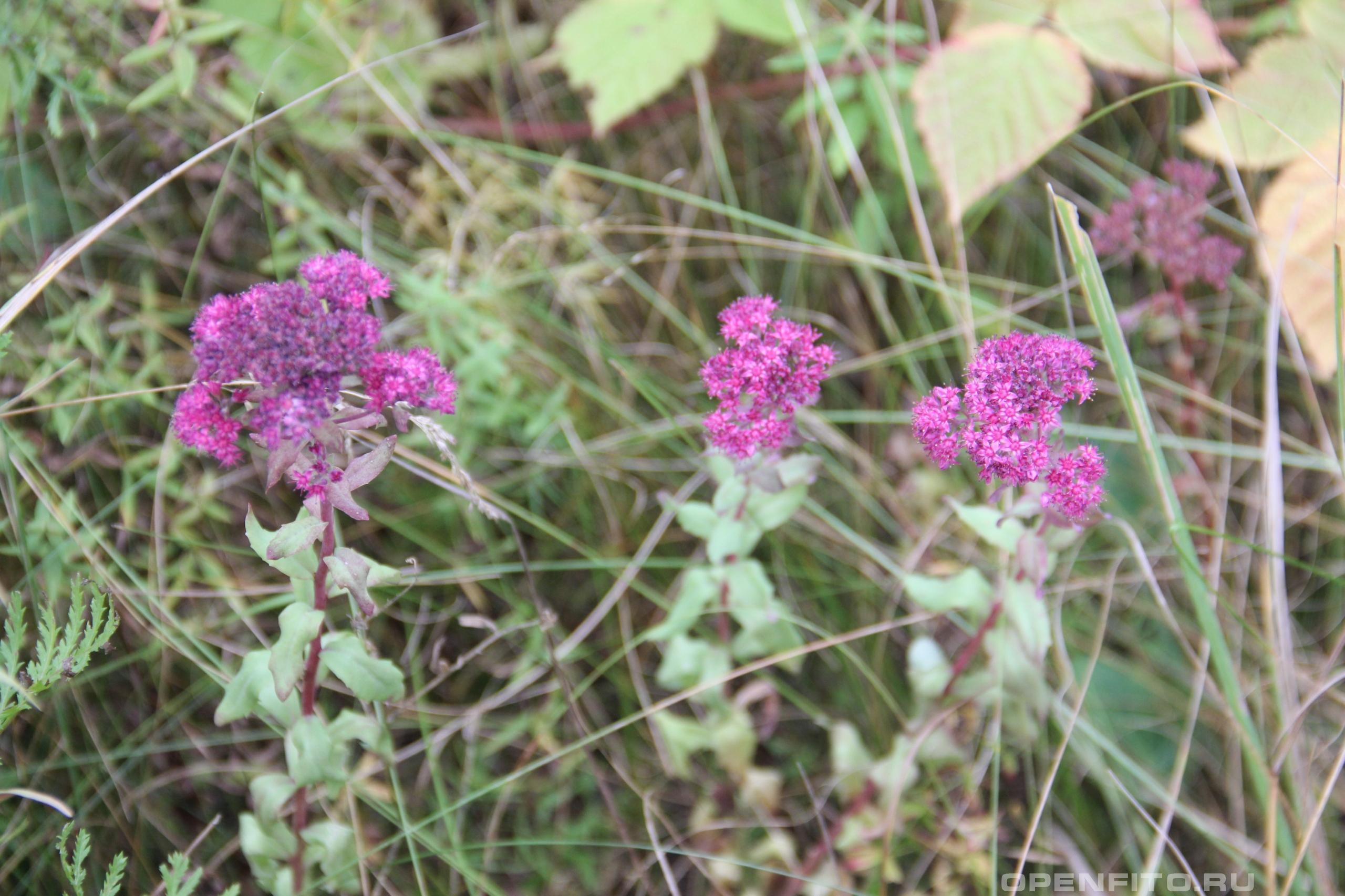 Очиток пурпурный иногда его называют заячьей капустой