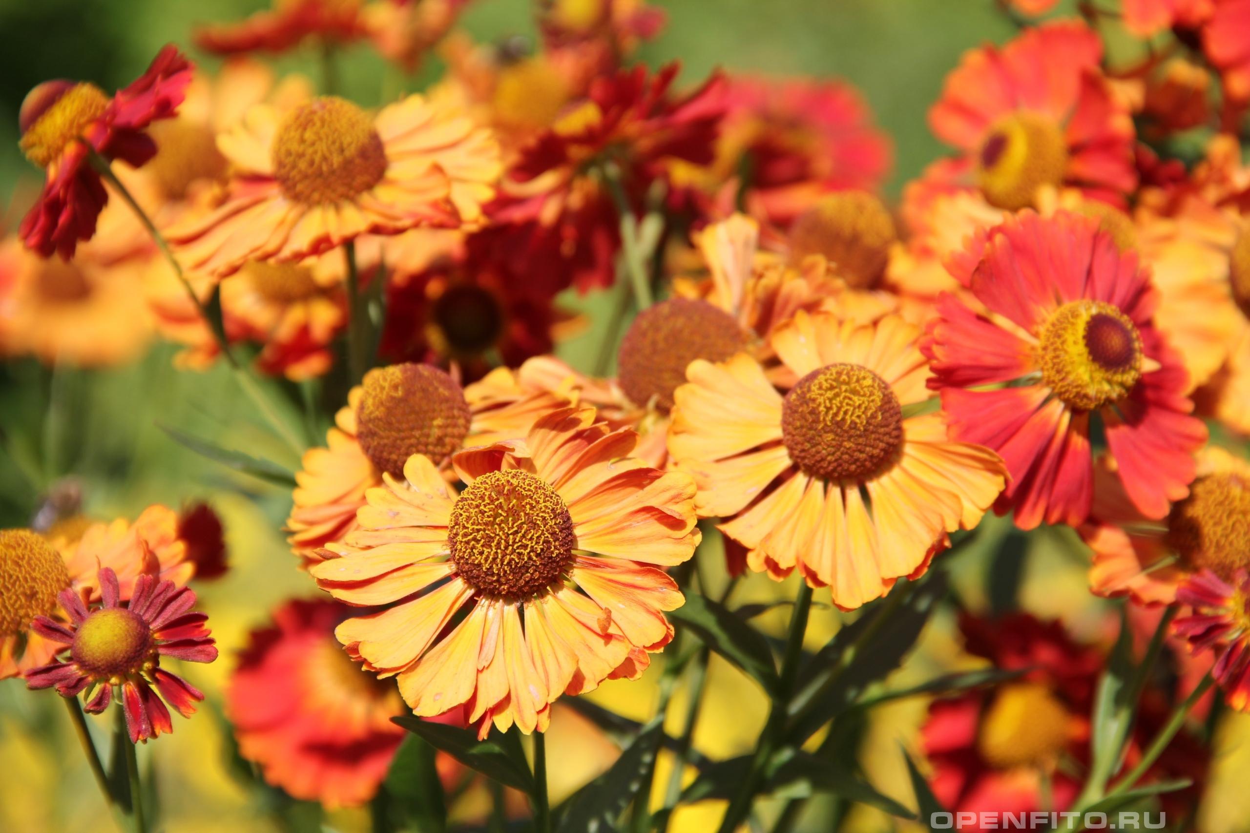 Гелениум фото цветов в клумбе