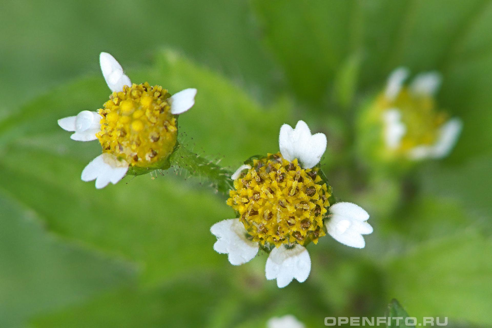 Галинсога реснитчатая трудновыводимый лекарственный сорняк