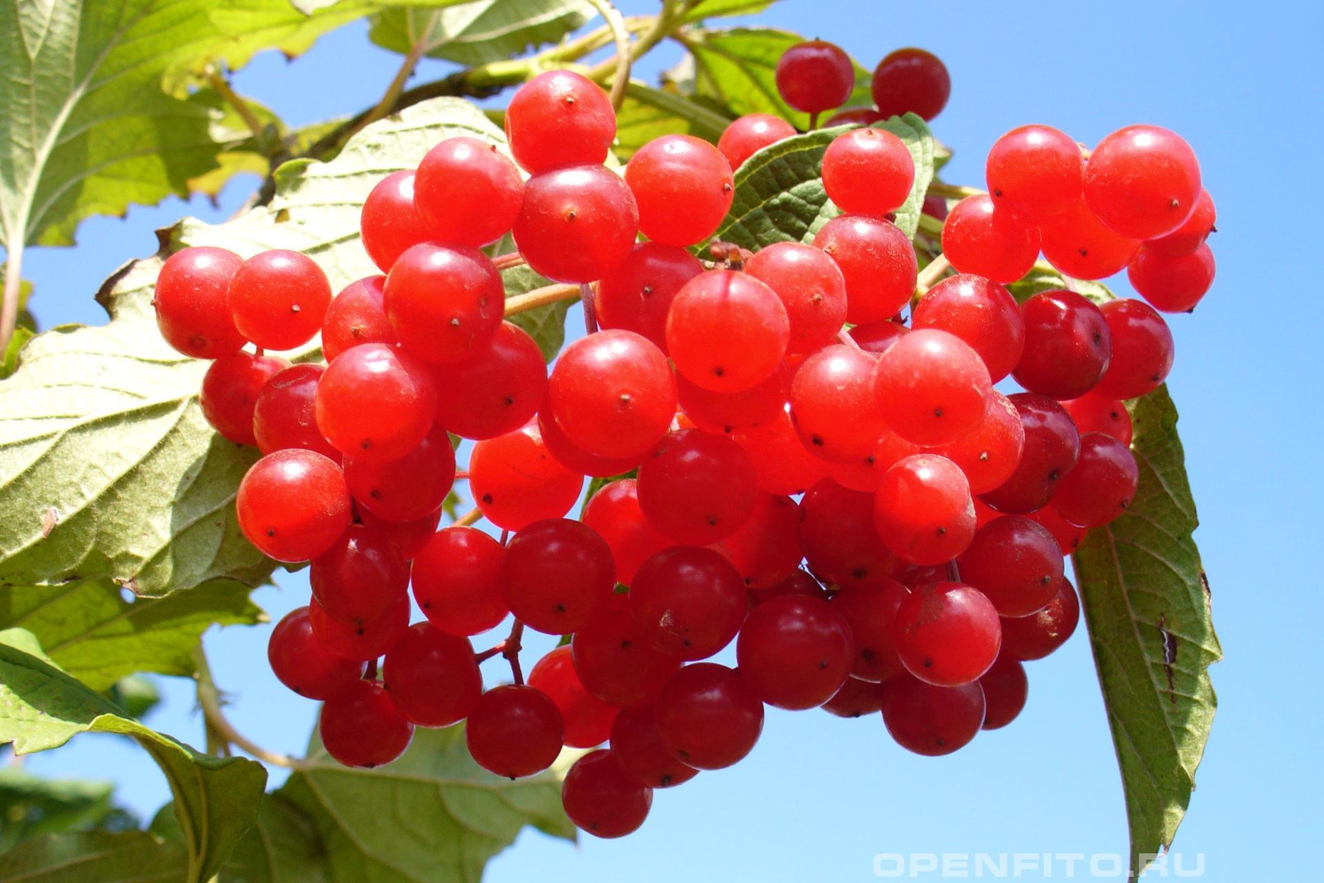 Калина обыкновенная красные и горькие ягоды калины