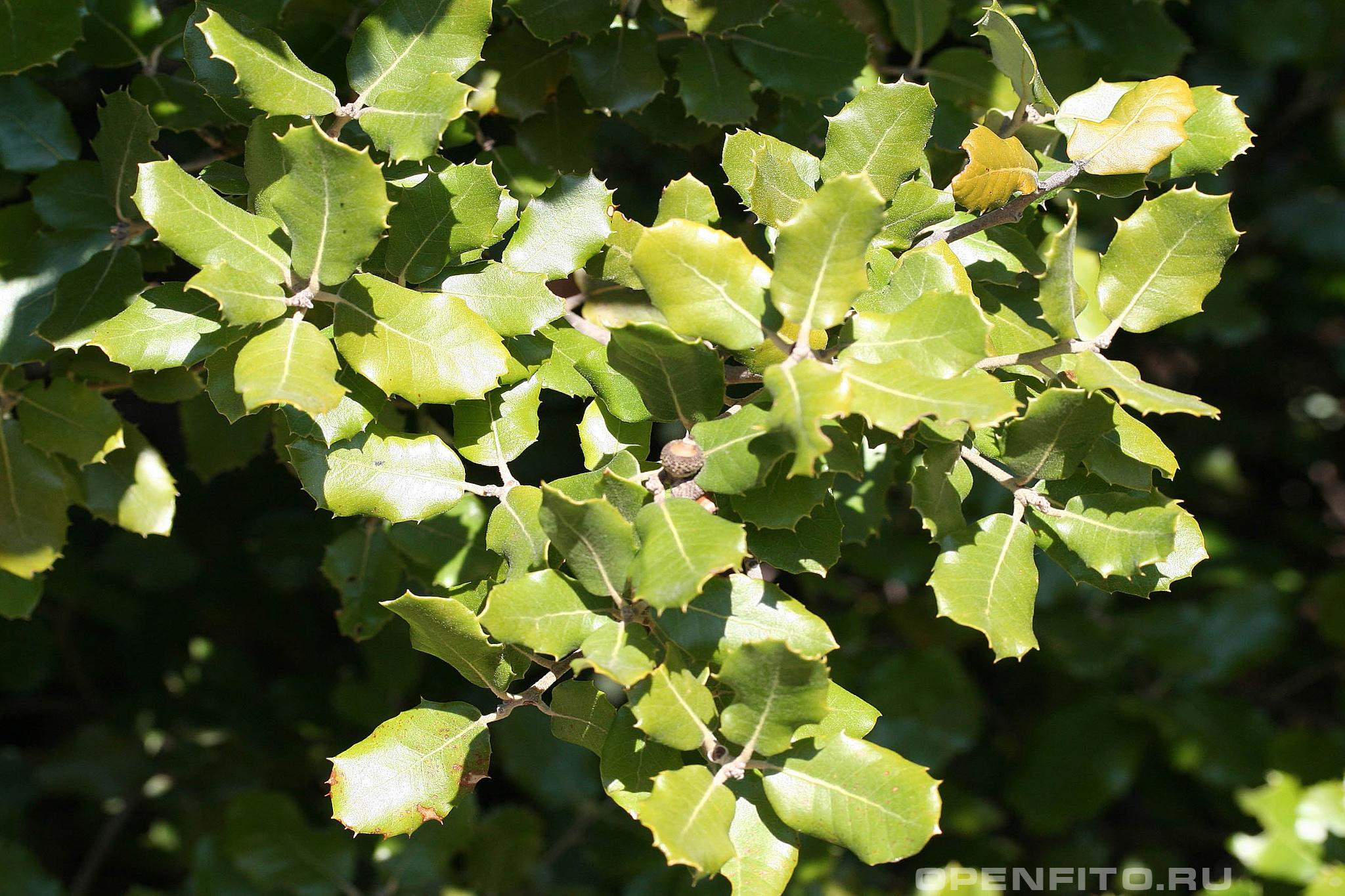 Дуб каменный листья и плоды дерева