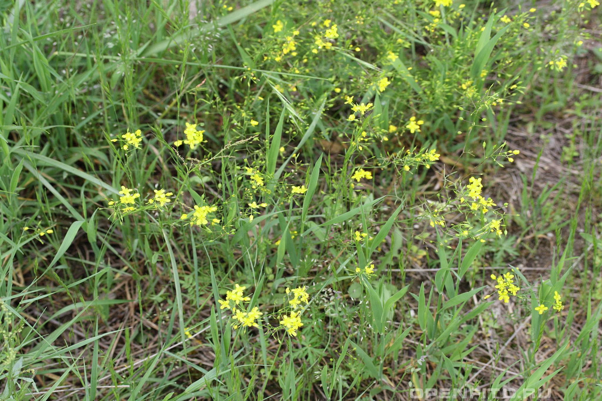Жерушник пиренейский цветущее растение на юге России