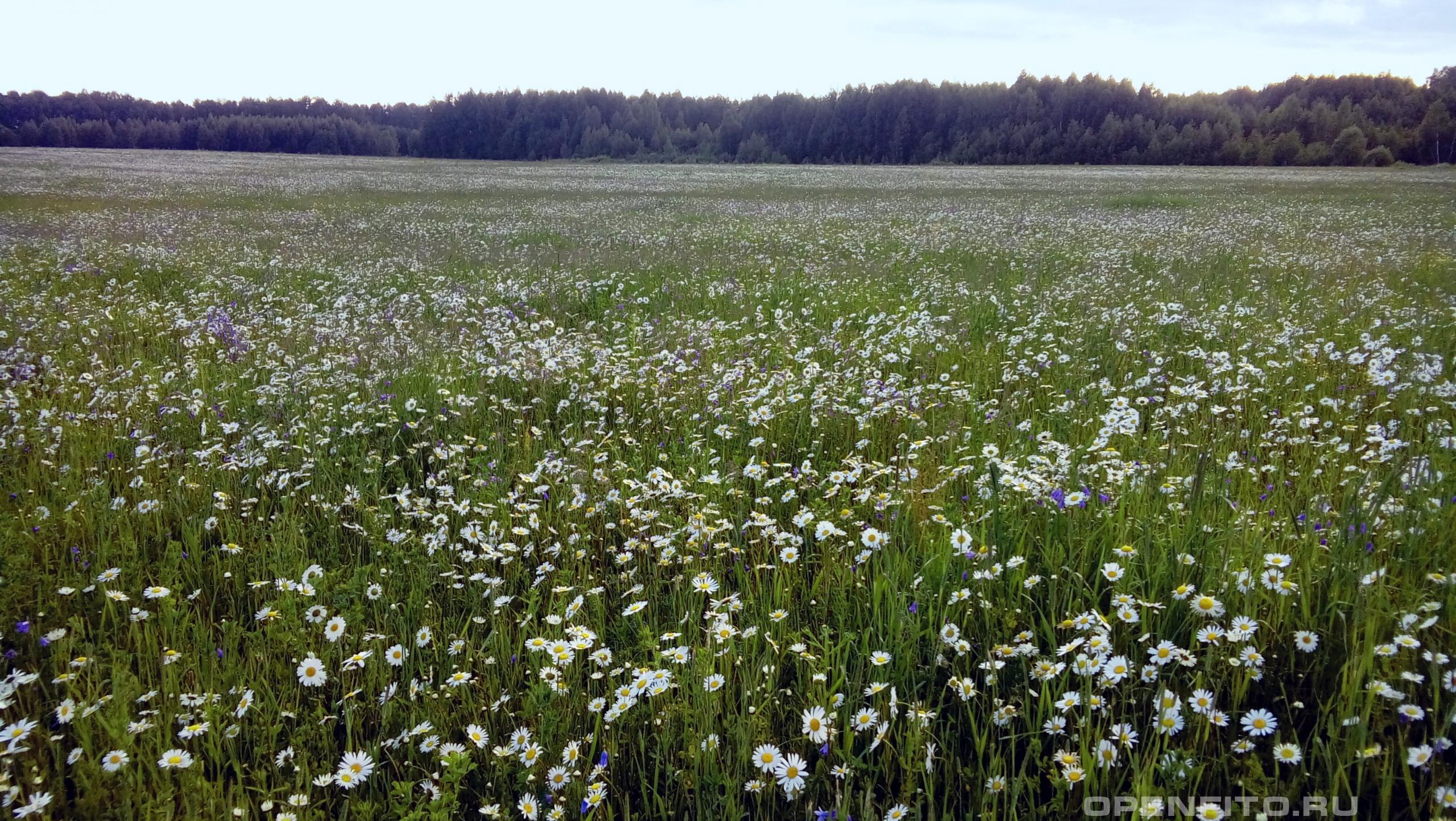 Нивяник обыкновенный поле заросшее нивяником