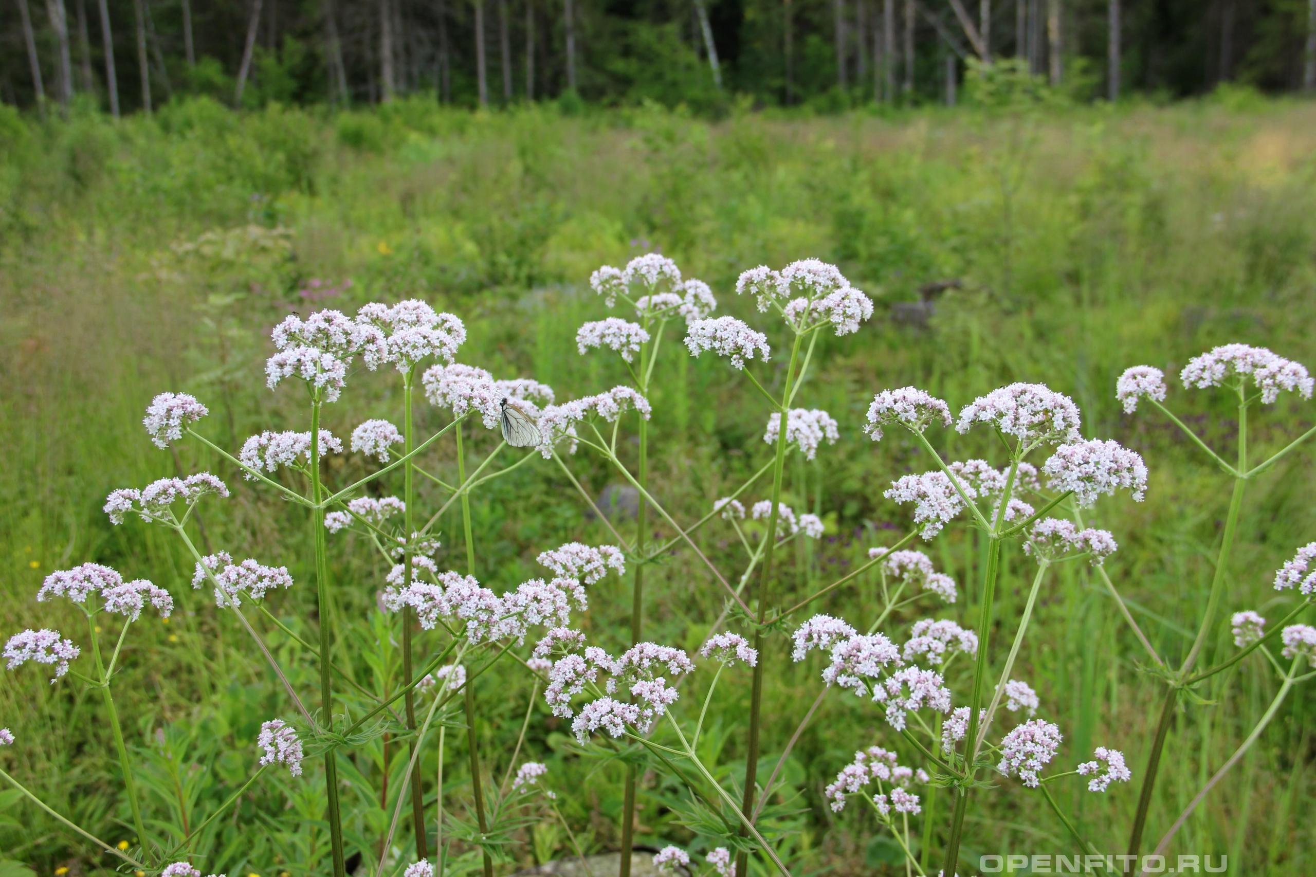 Валериана лекарственная цветки одного куста