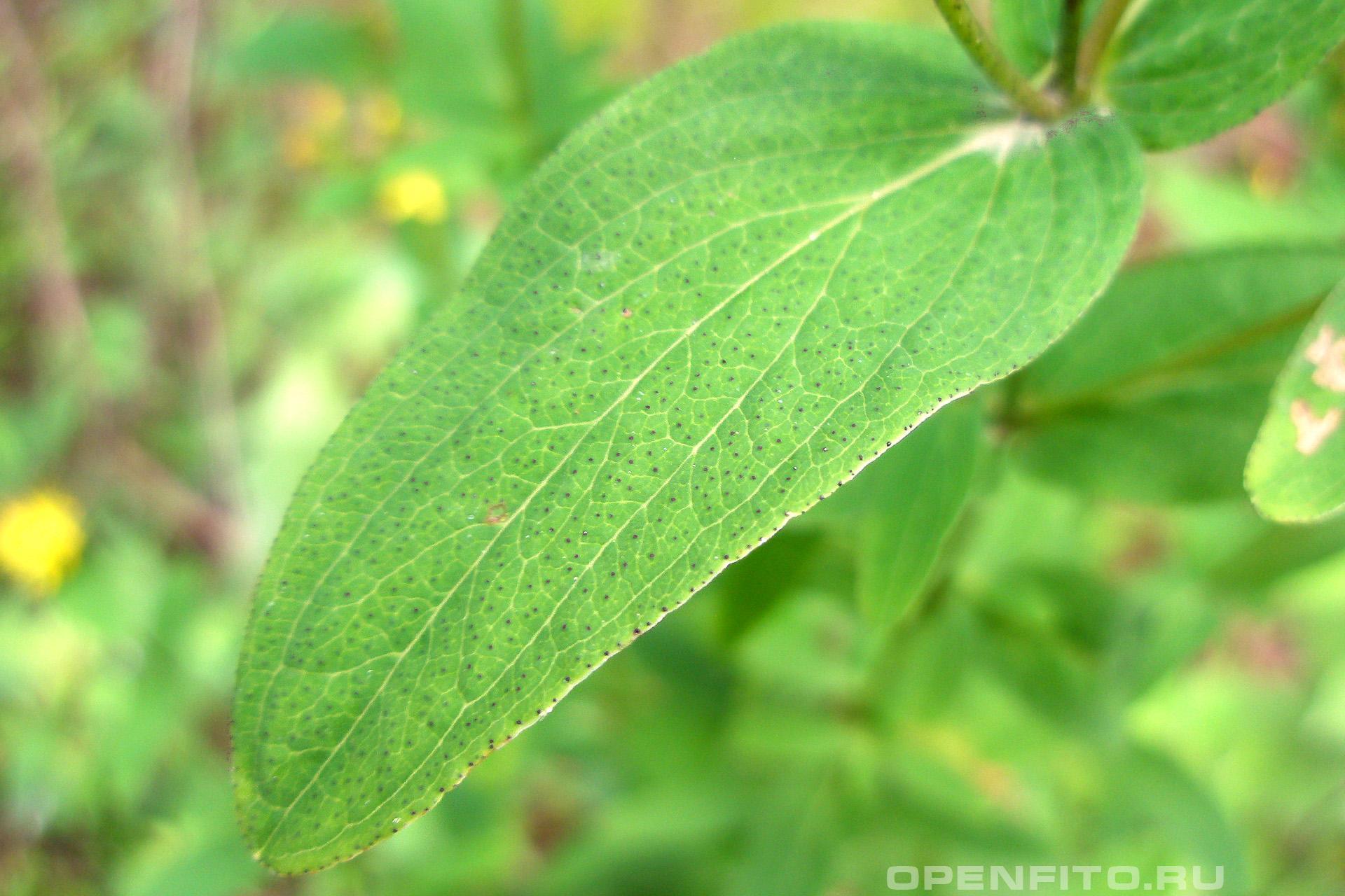 Зверобой продырявленый лист покрытый маленькими пигментными пятнами