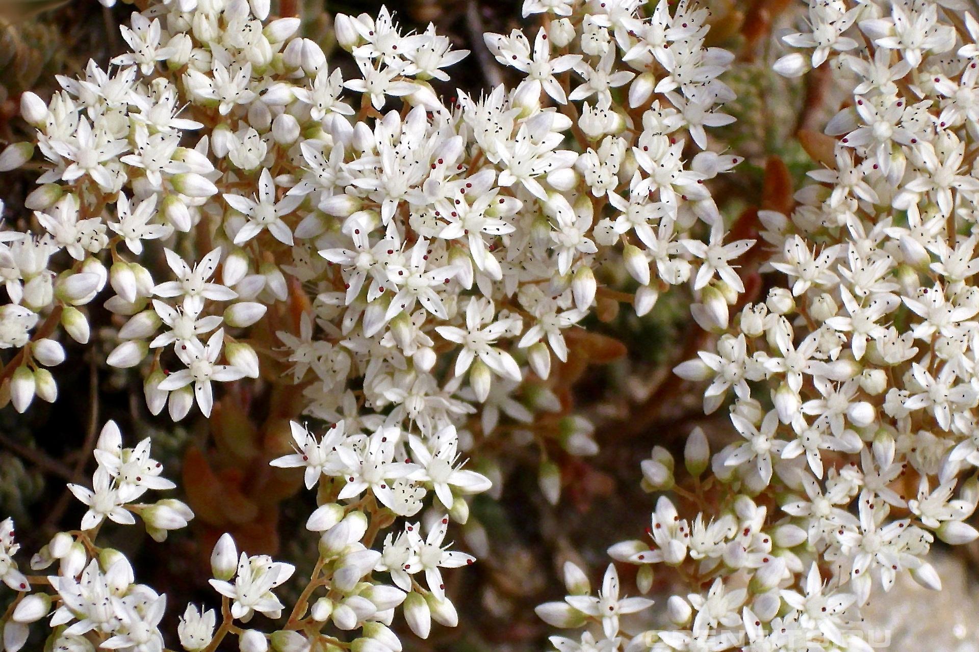 Очиток белый декоративное растения которое можно высаживать в виде живого ковра