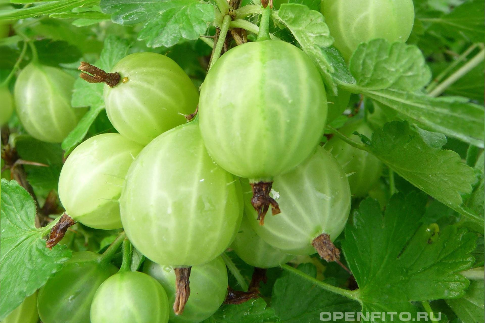 Крыжовник обыкновенный фото незрелых плодов кустарника