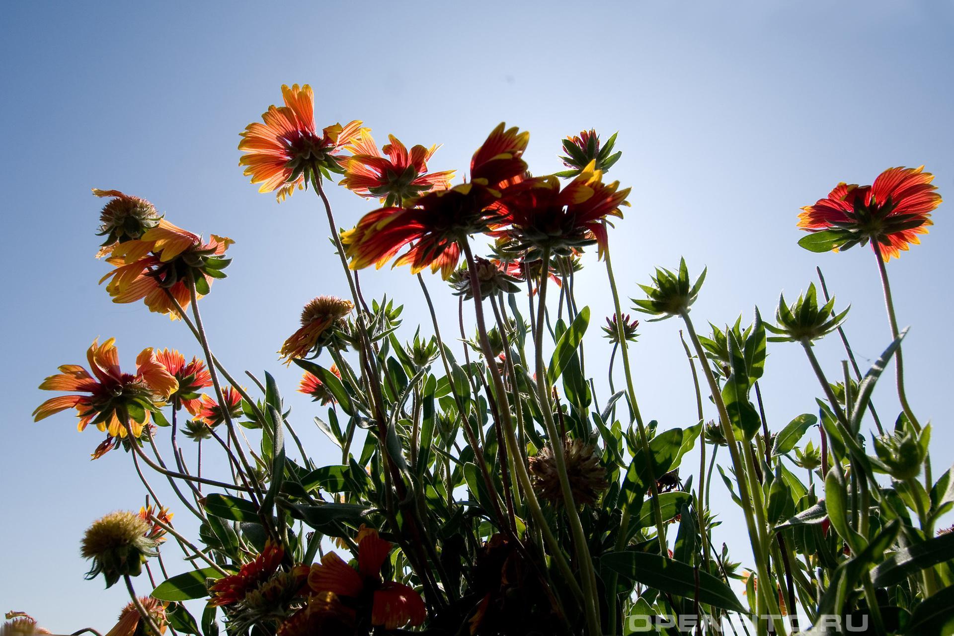 Гайлардия обыкновенная садовый цветок