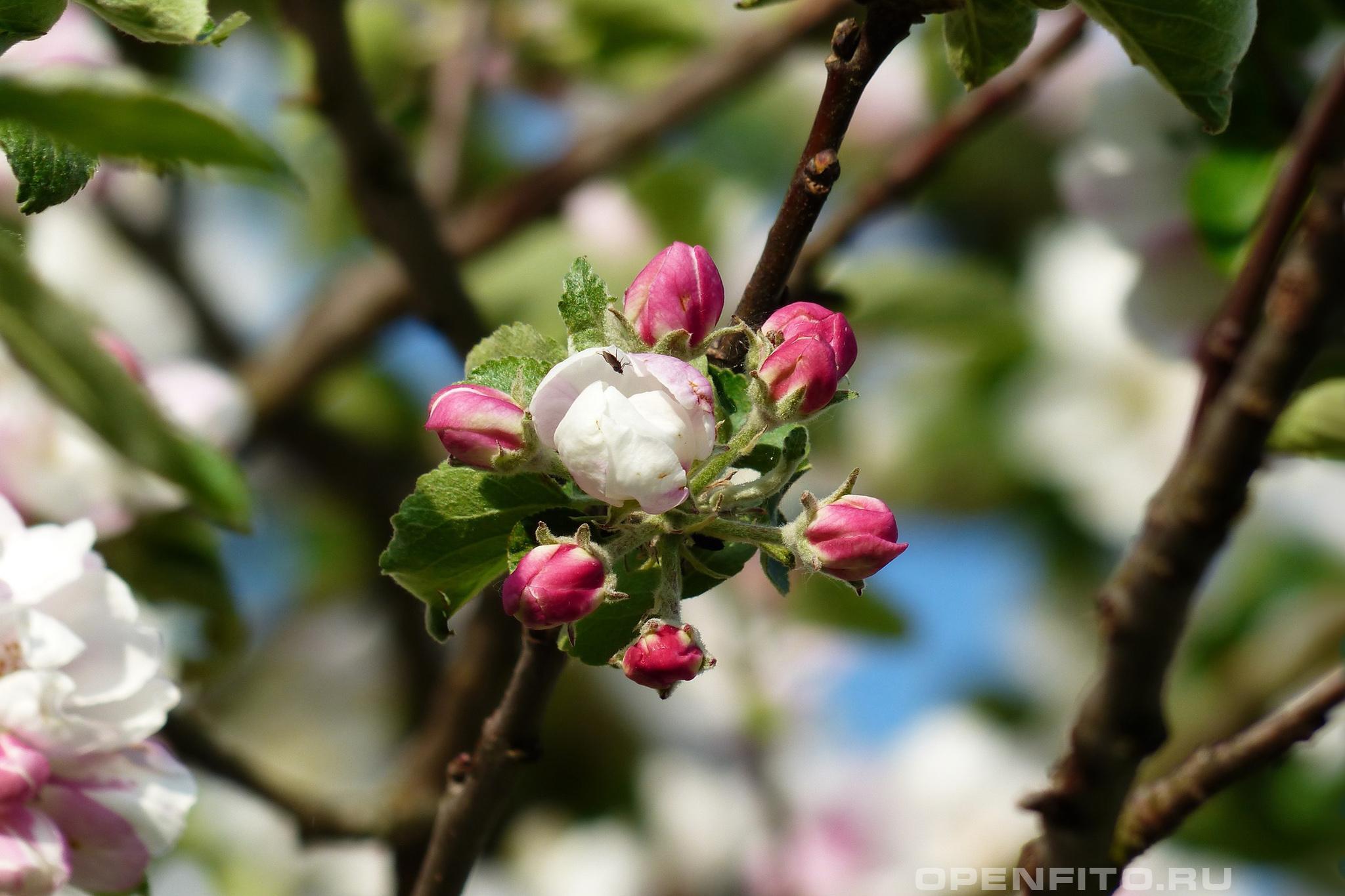 Яблоня цветок