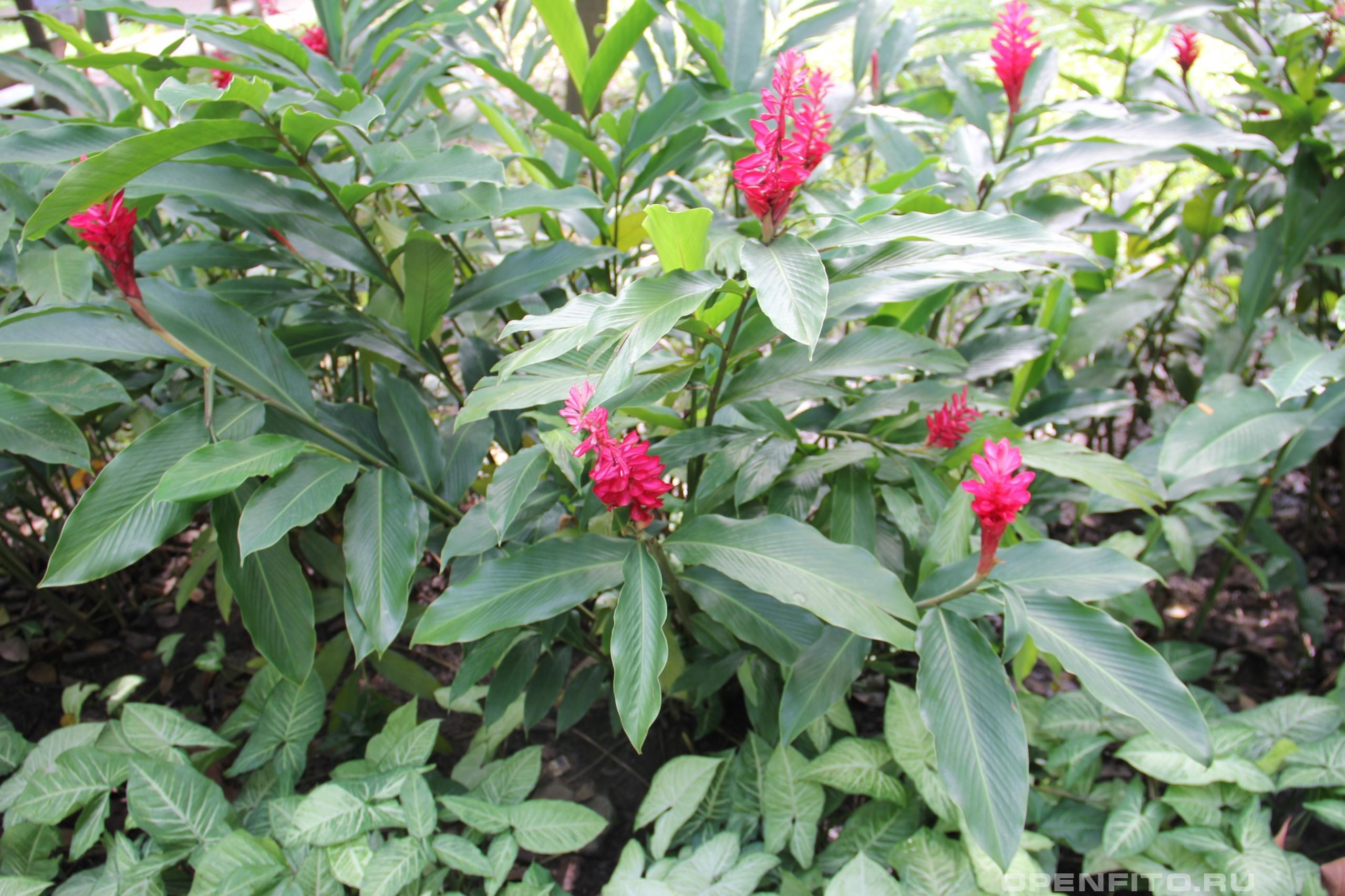 Альпиния пурпурная тропическое растение