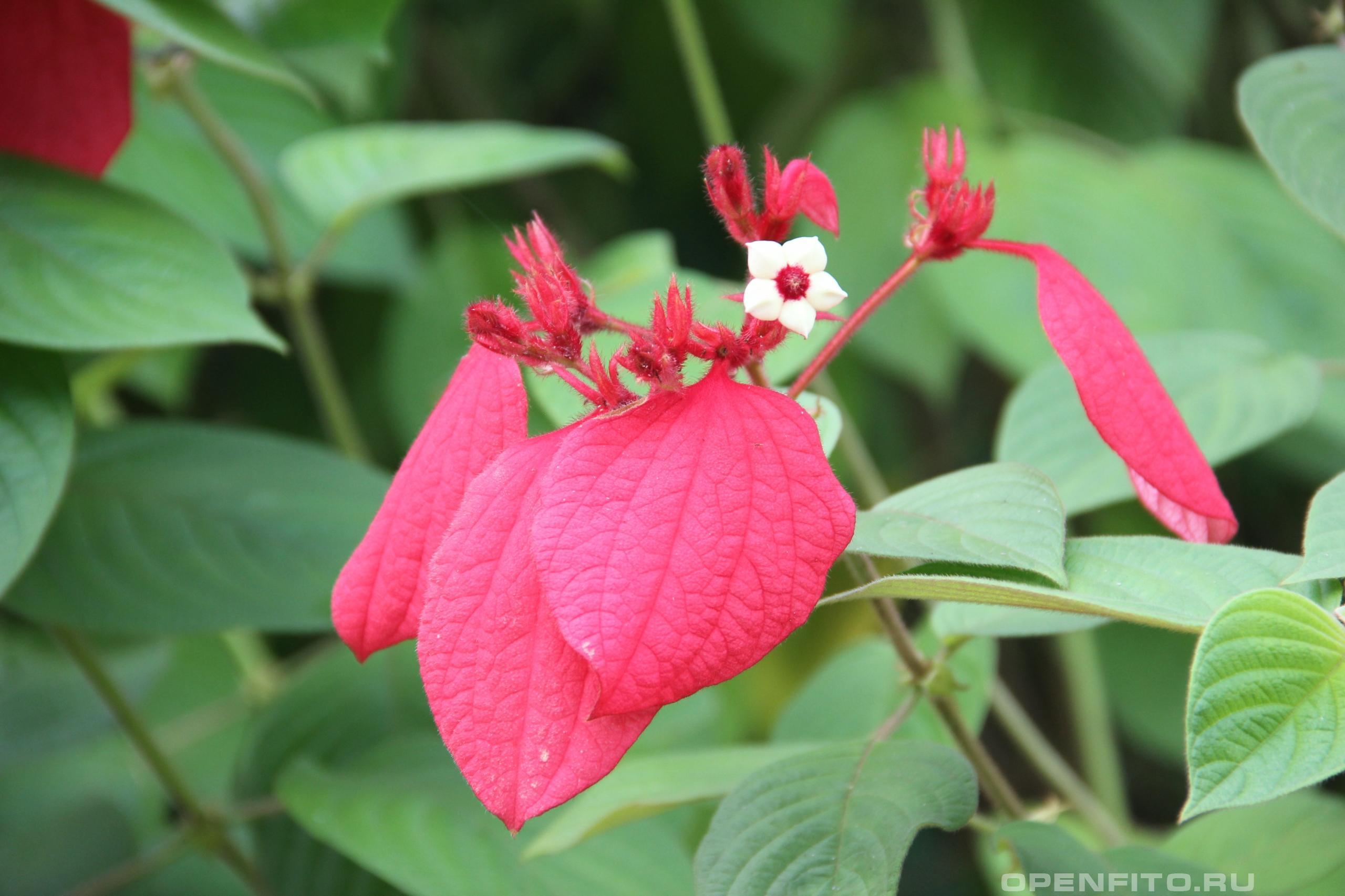 Муссенда филиппинская тропическое растение