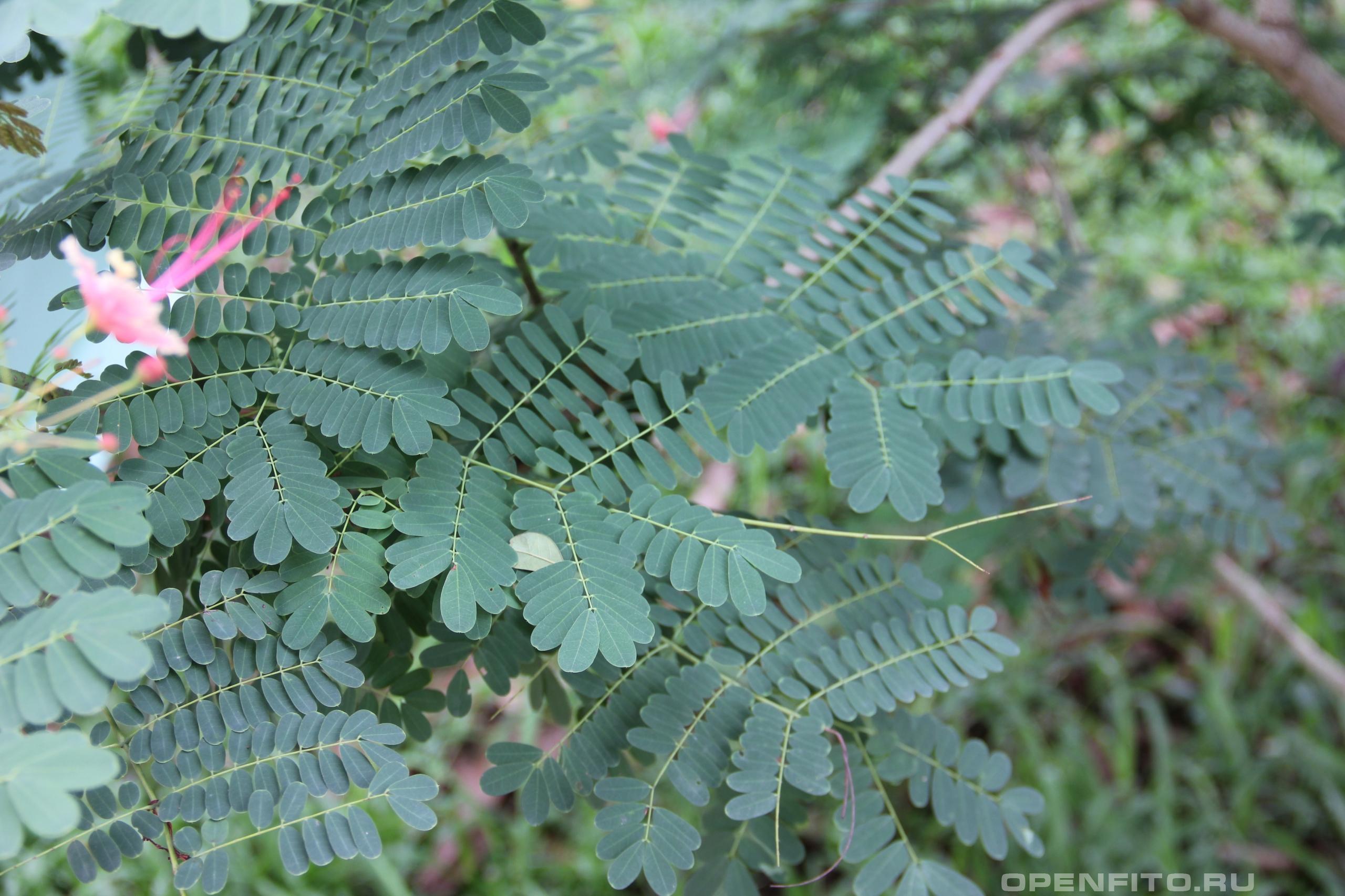 Цезальпиния красивейшая листья