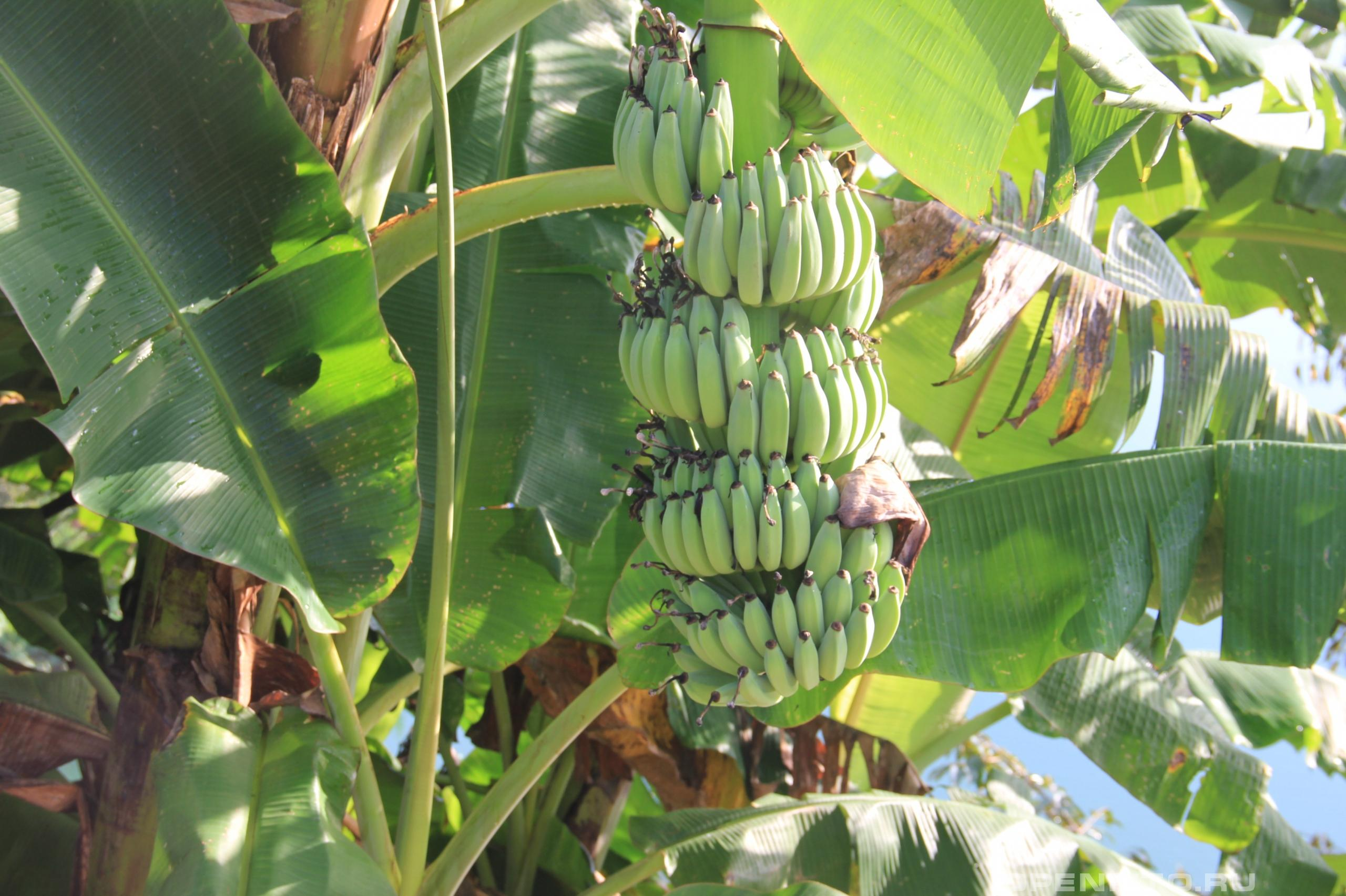 Банан японский съедобный вид бананов из азии