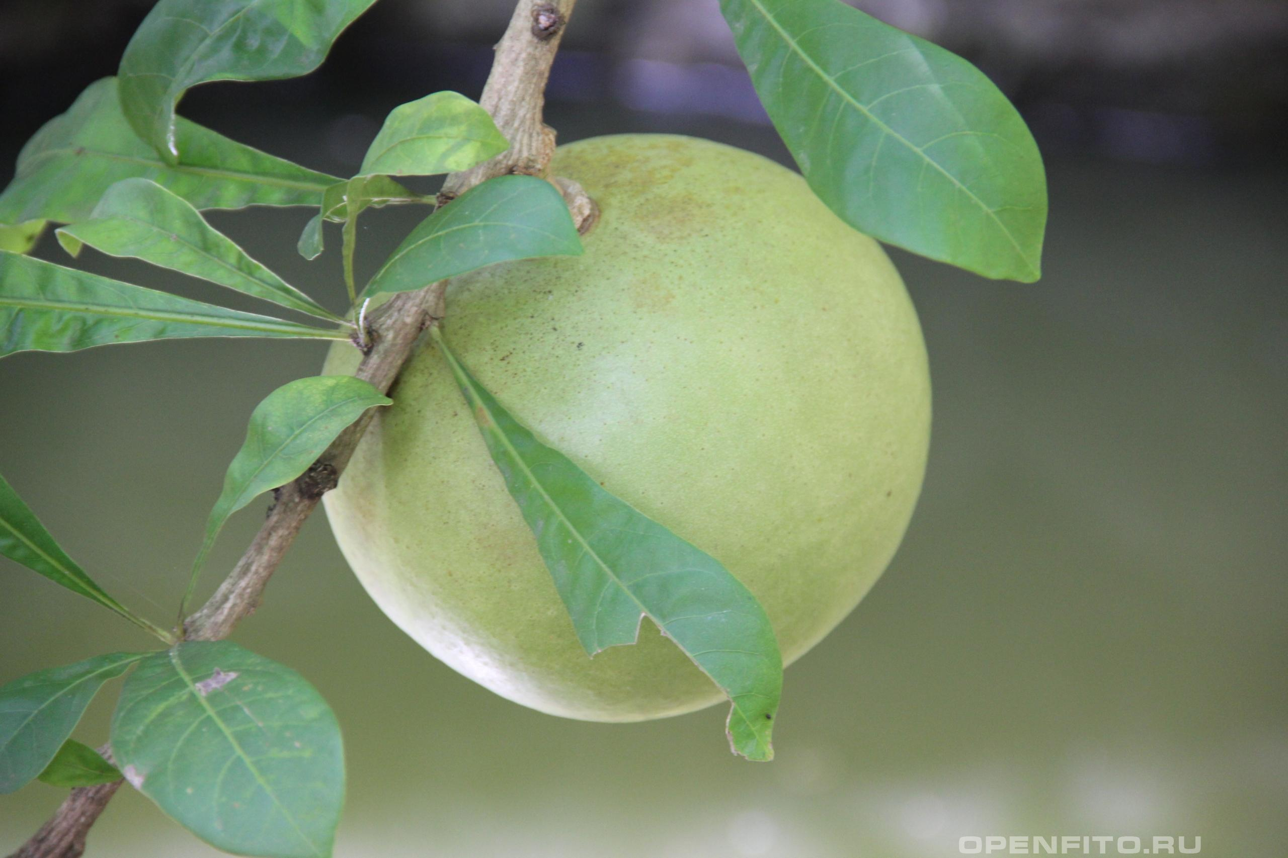 Кресцентия крылатая Crescentia cujete или Колебасовое дерево